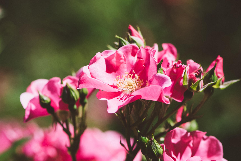 физиология цветы розовых оттенков картинки ковры сами