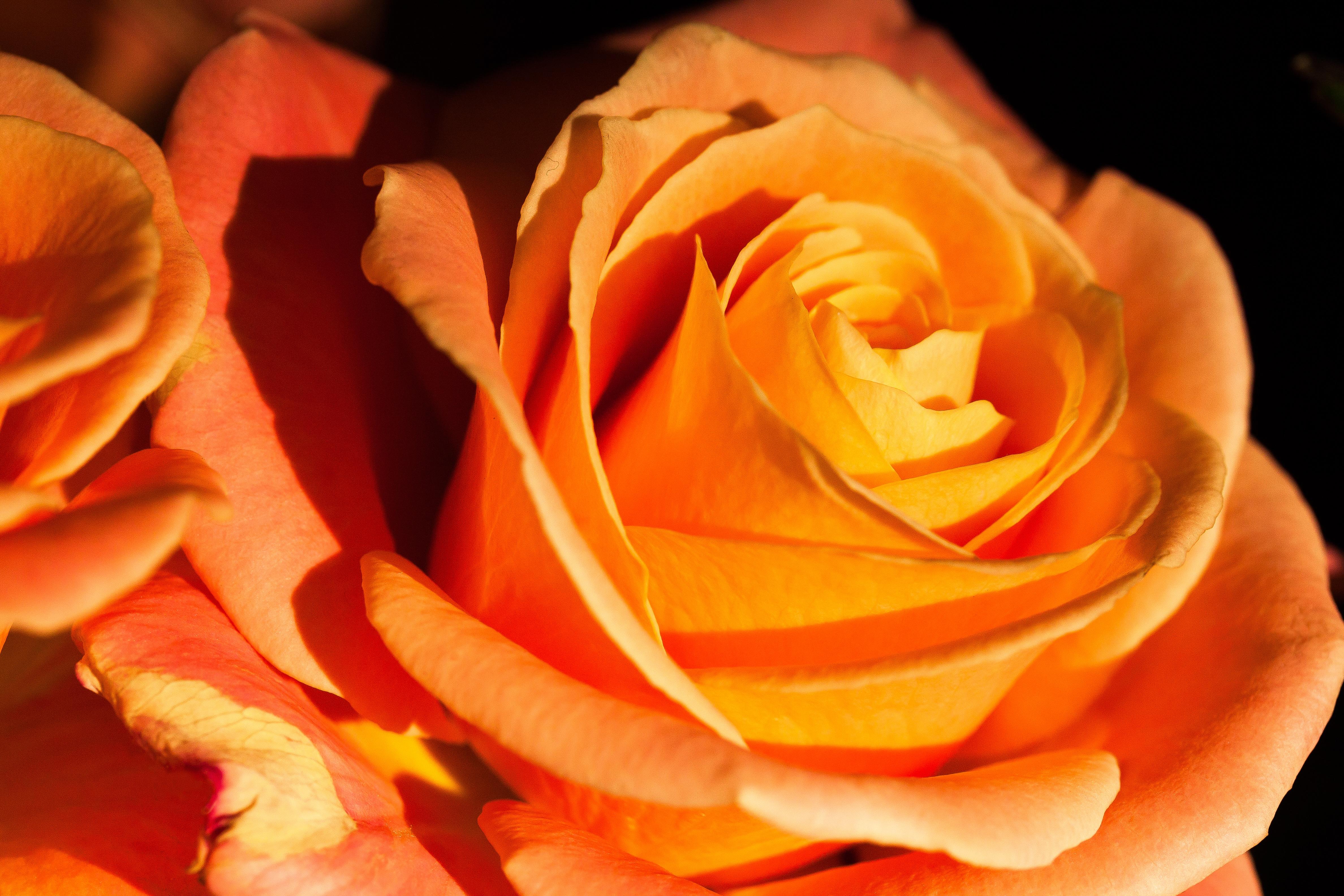 Оранжевые розы картинки фото