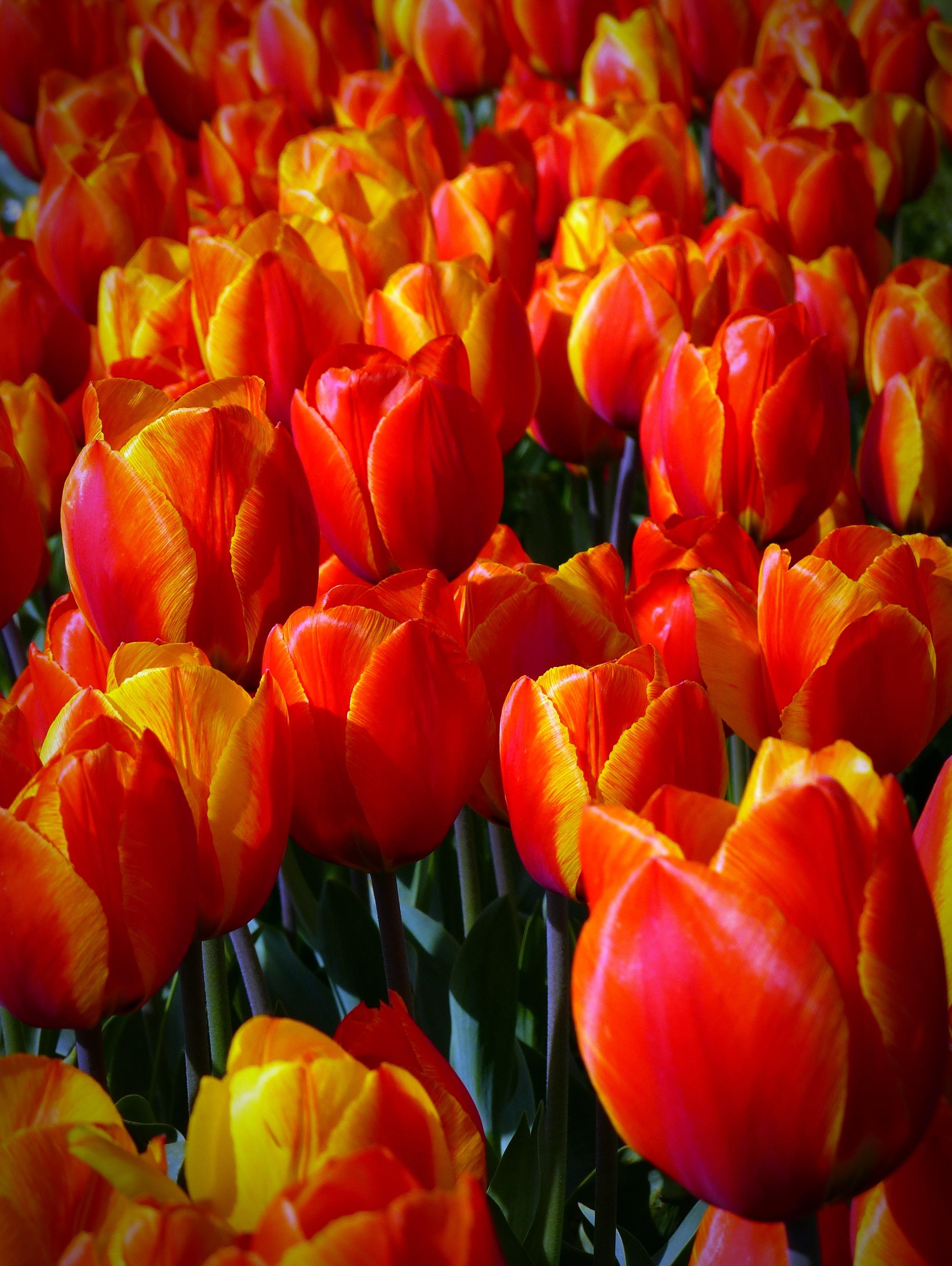 покупку дивные фотографии тюльпанов помощника