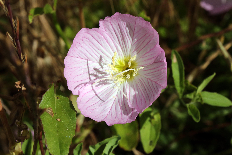 Free Images Nature Blossom Petal Botany Flora Wildflower