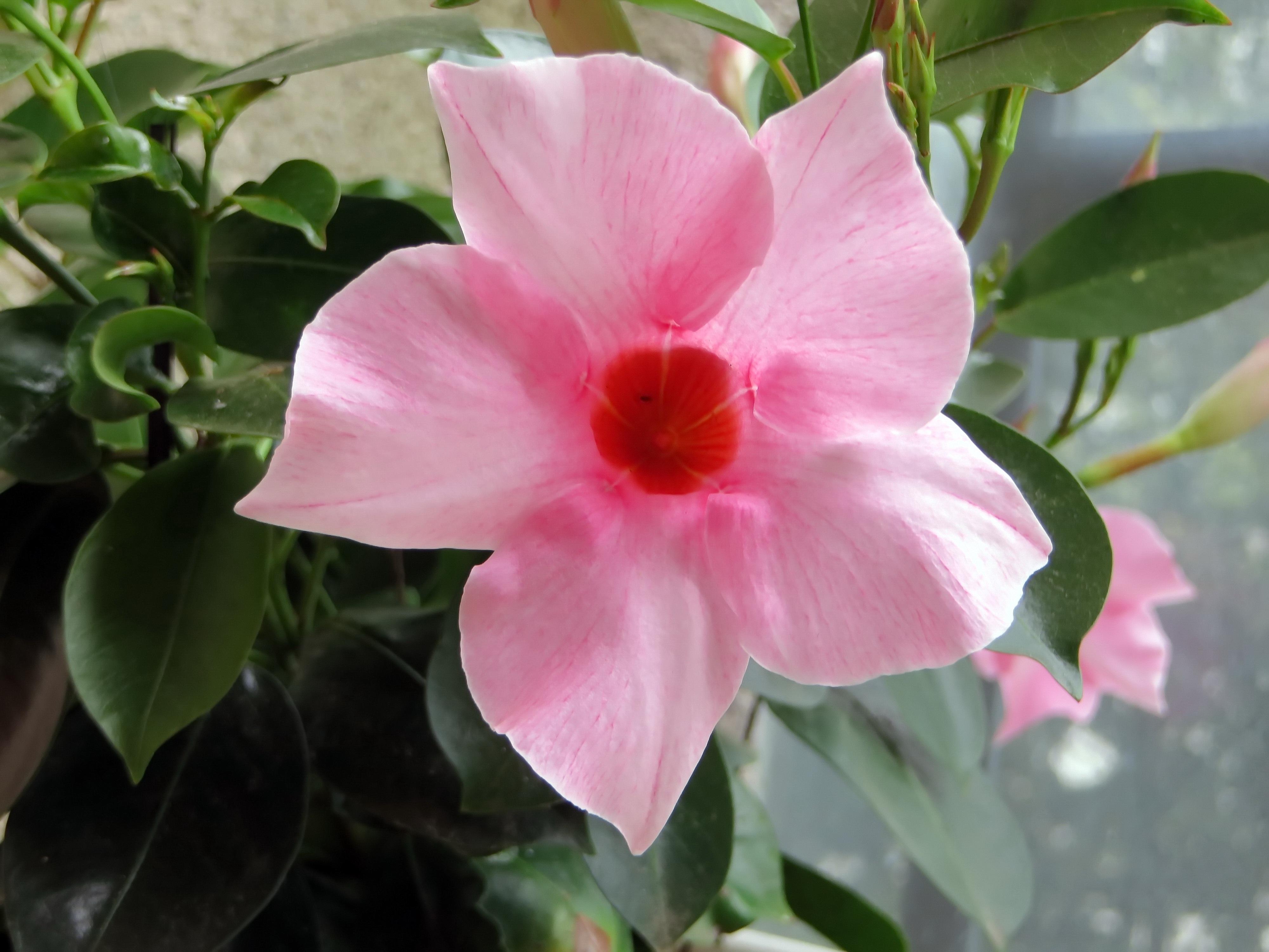 Images gratuites la nature p tale botanique flore arbuste corolle floraison fleur rose - Plante a fleurs roses ...