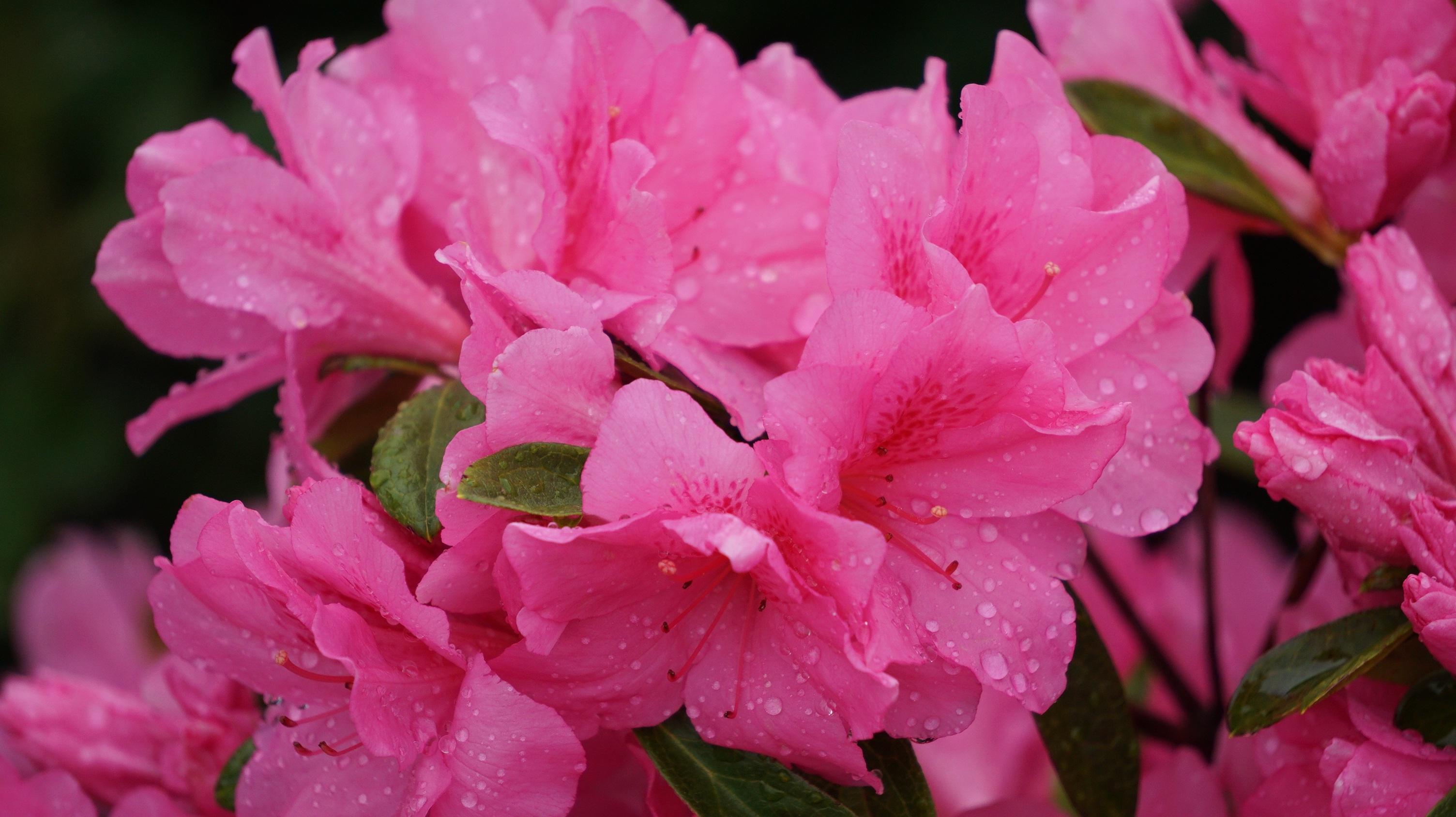 Free Images Nature Blossom Petal Bouquet Flora Shrub
