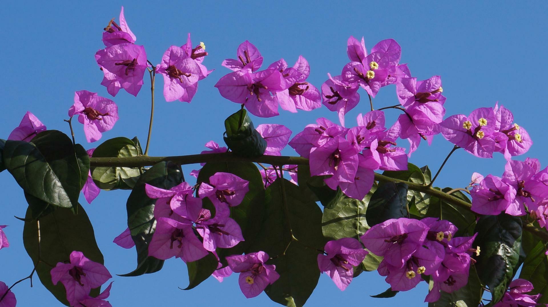 Bougainville Fleur concernant images gratuites : la nature, fleur, pétale, buisson, couleur
