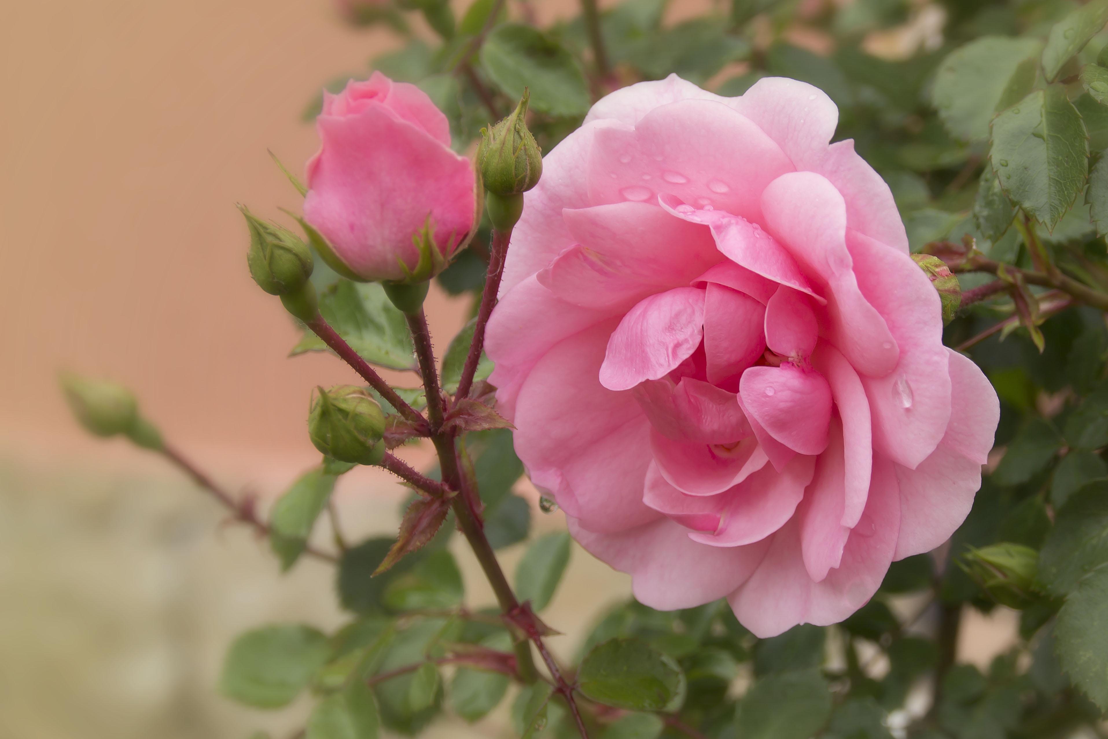 Images gratuites la nature fleur p tale flore rosier - Photo de fleur a imprimer ...