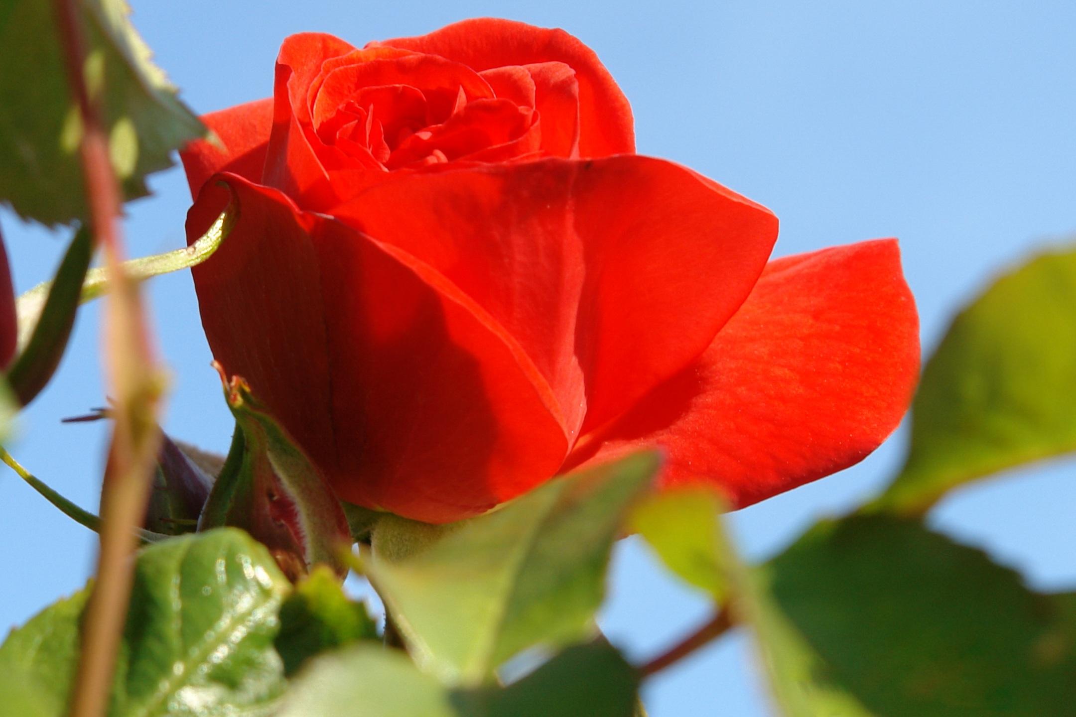 fotos gratis naturaleza flor pétalo rosa rojo floreciente