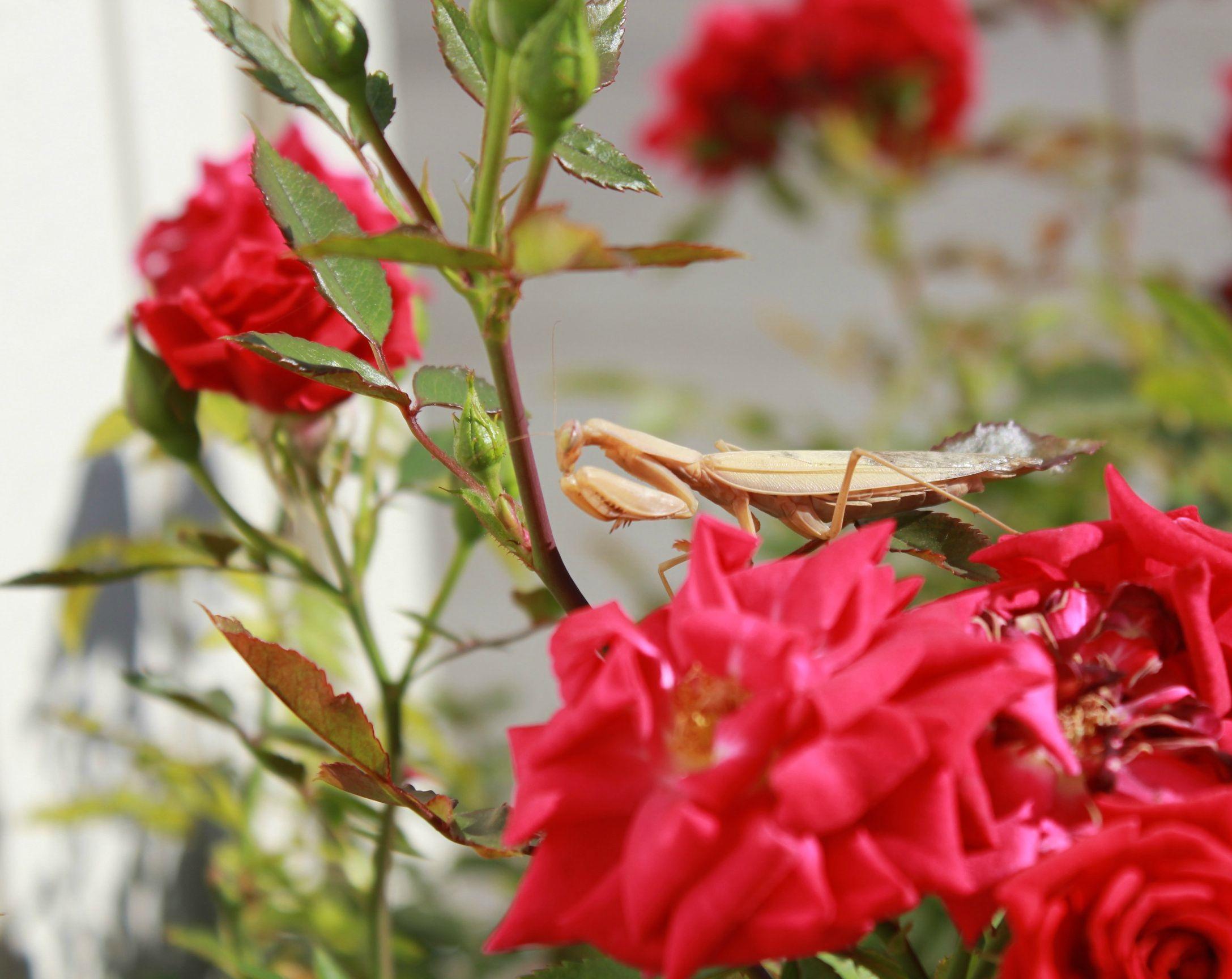 Free Images Nature Blossom Flower Petal Red Praying Mantis
