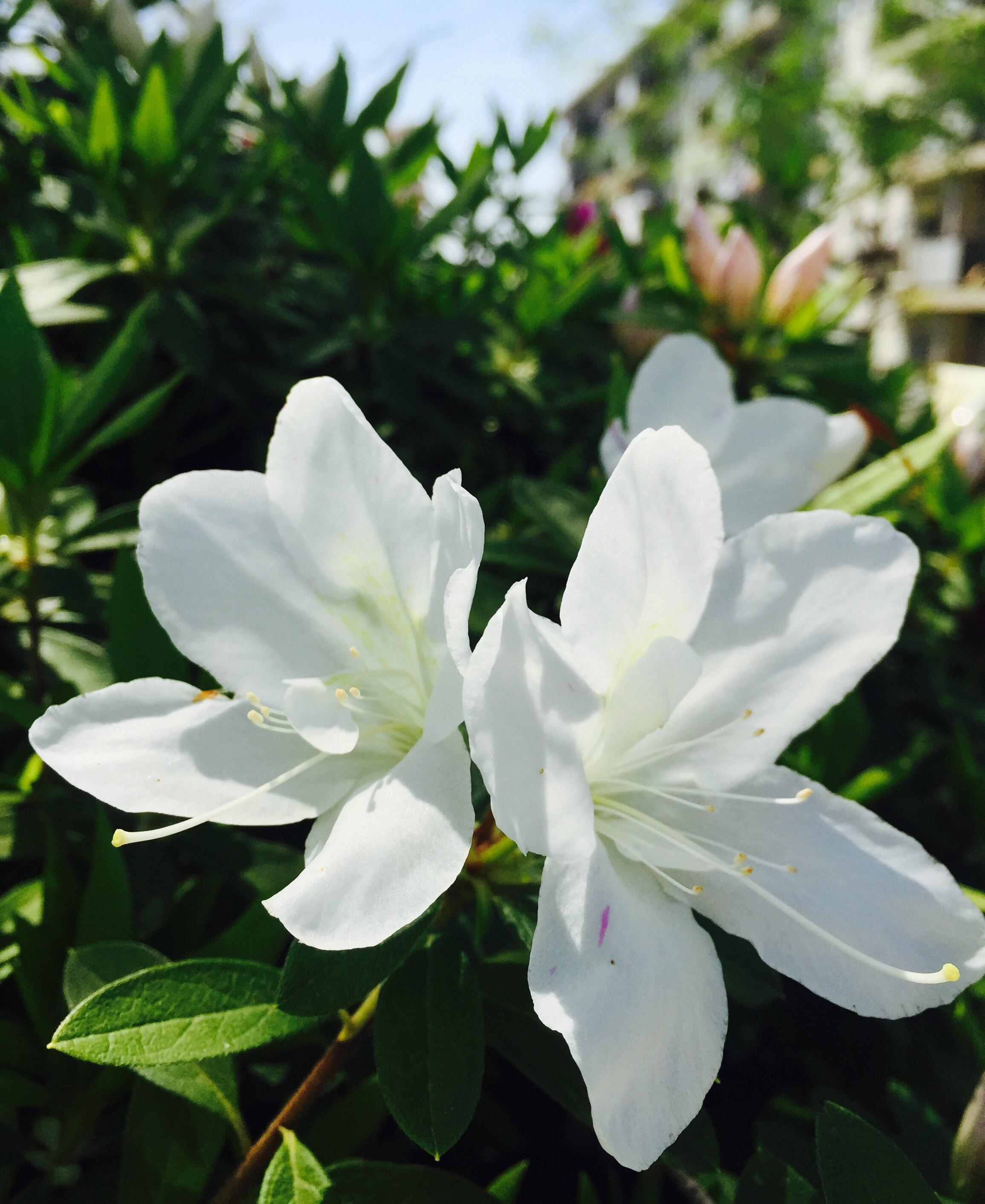 images gratuites : la nature, pétale, printemps, botanique, flore
