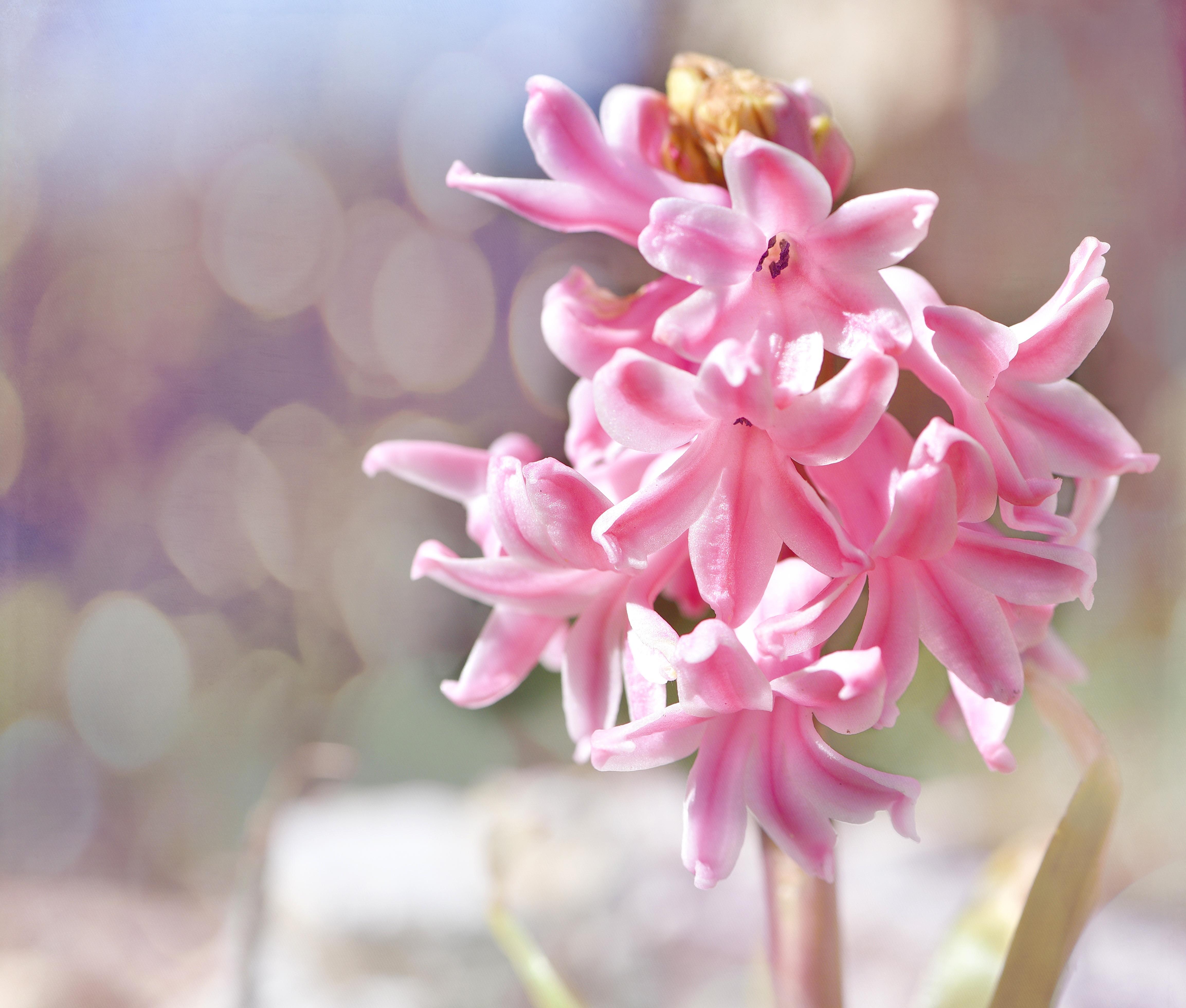 Images Gratuites : la nature, pétale, botanique, jardin, rose ...