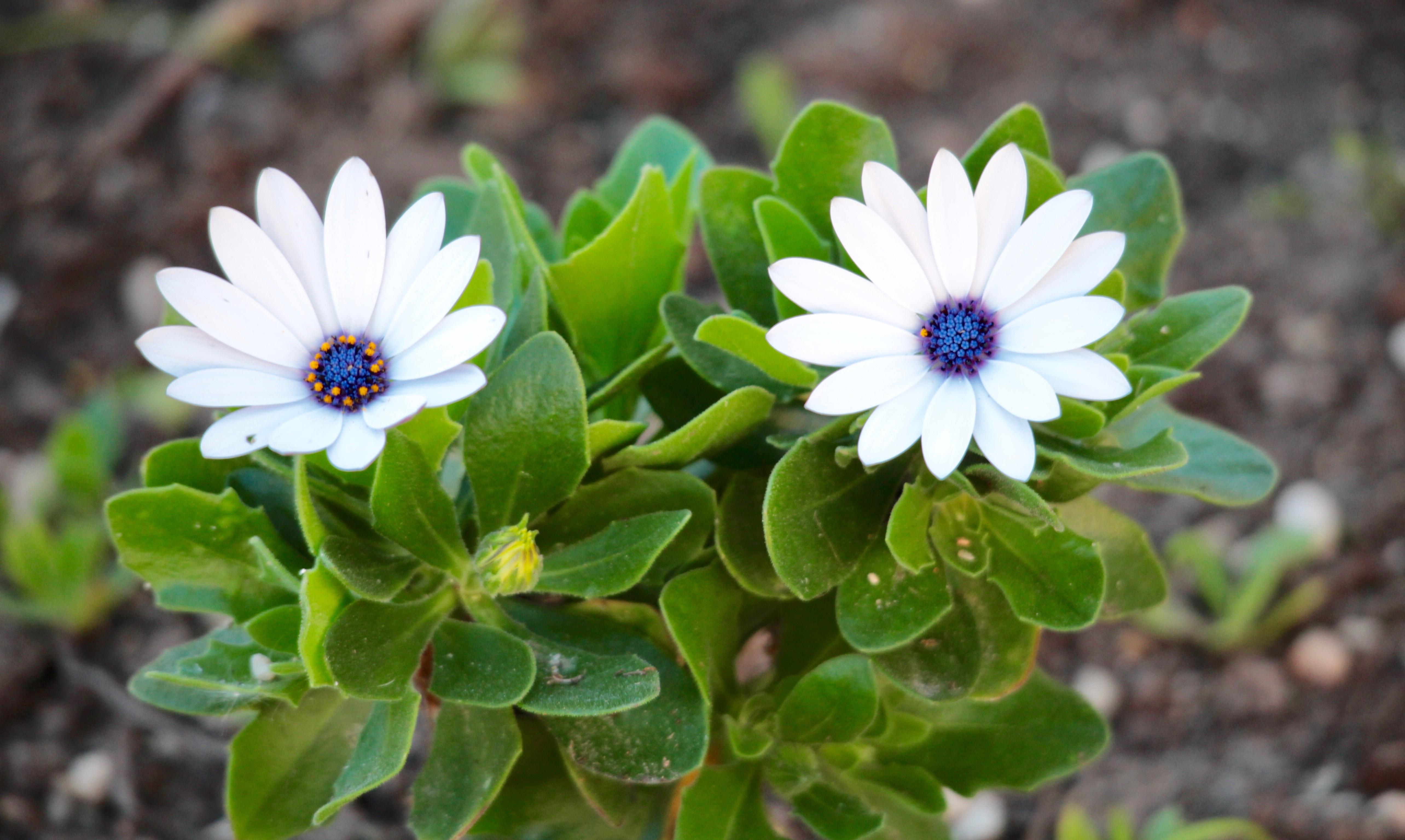Margaritas De Colores En La Hierba 30995: Fotos Gratis : Naturaleza, Pétalo, Verano, Primavera