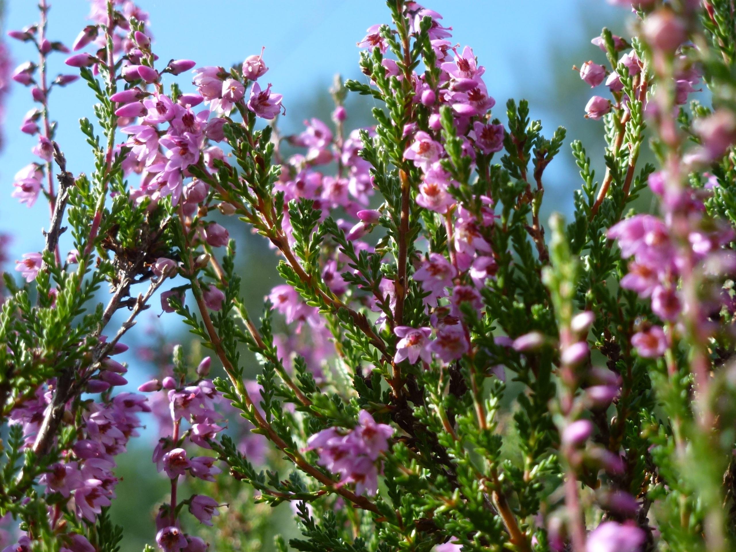 Free Images Nature Blossom Flower Purple Bloom Herb Botany