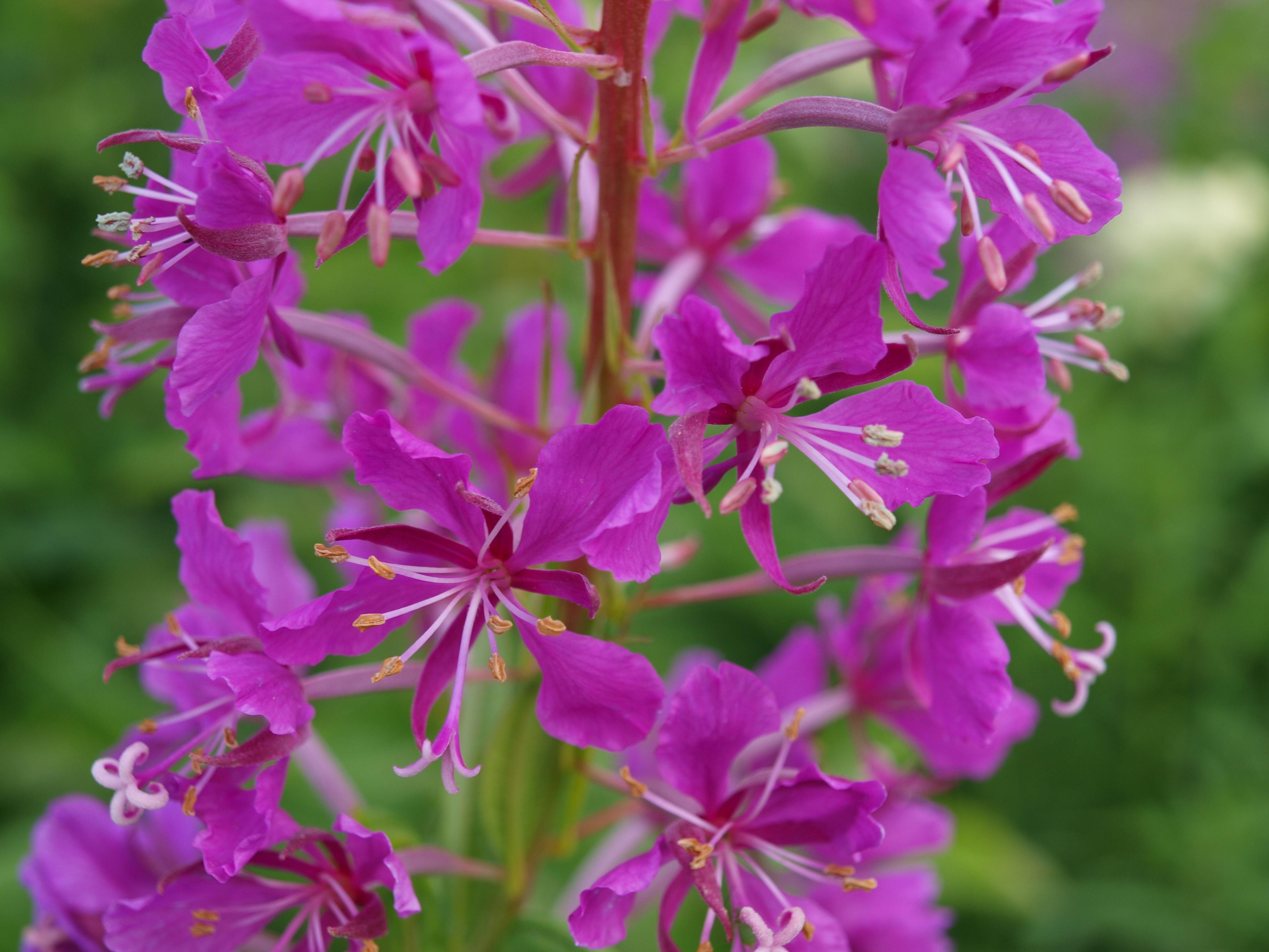 Free images nature blossom flower purple herb botany pink free images nature blossom flower purple herb botany pink flora wildflower shrub flowering plant evening primrose greenhouse dhlflorist Choice Image