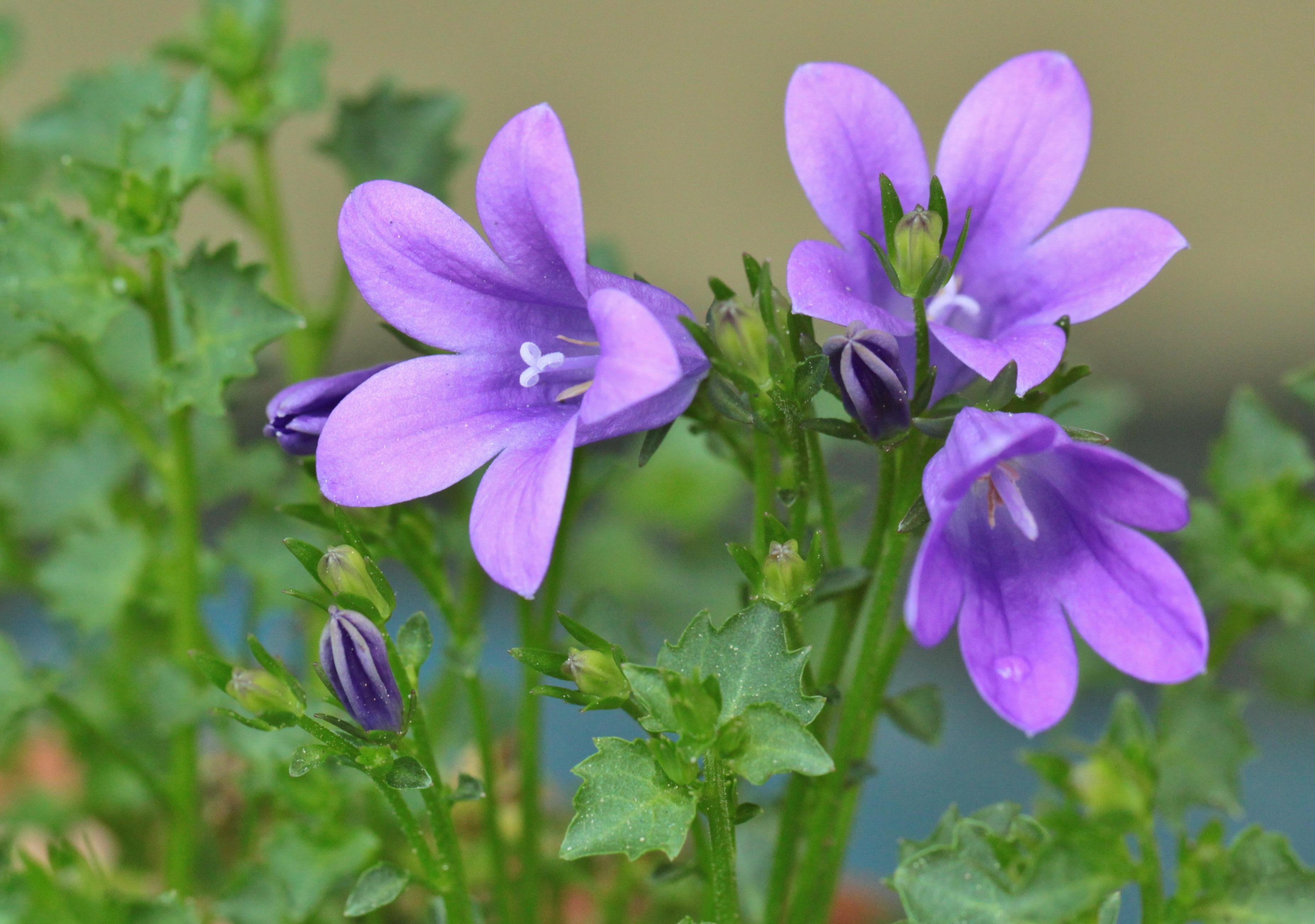 Free Images Nature Blossom Purple Petal Bloom Bell Botany