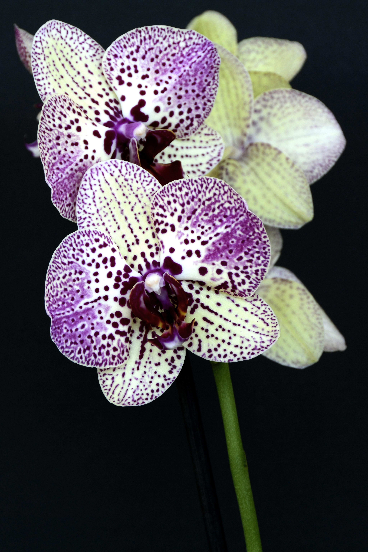 Фото пятнистых орхидей