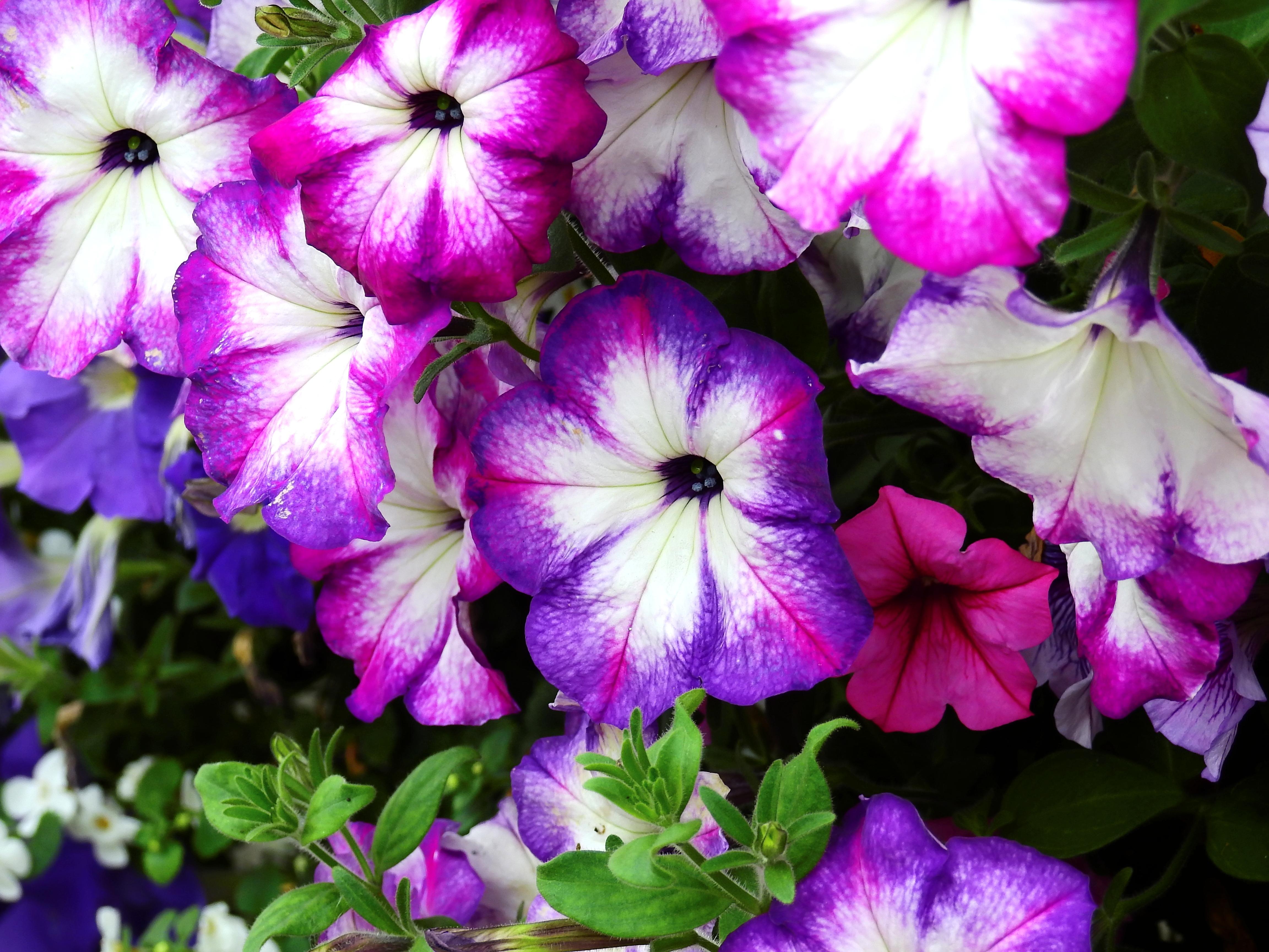 kostenlose foto natur bl hen lila bl tenblatt botanik rosa flora blumen hintergrund. Black Bedroom Furniture Sets. Home Design Ideas