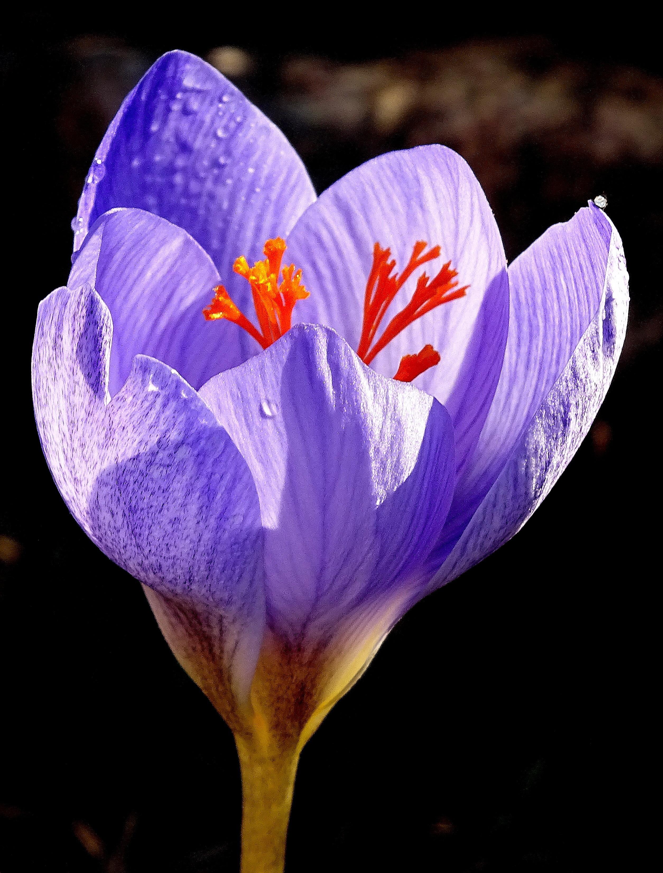 images gratuites la nature violet p tale floraison couleur bleu jardin flore fleur. Black Bedroom Furniture Sets. Home Design Ideas
