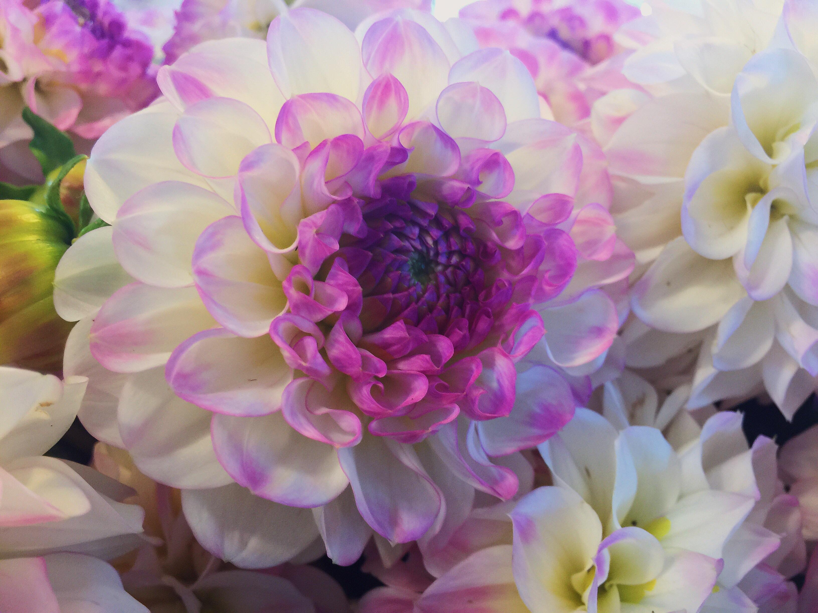 Free Images Nature Blossom Purple Petal Bloom Pink Flora
