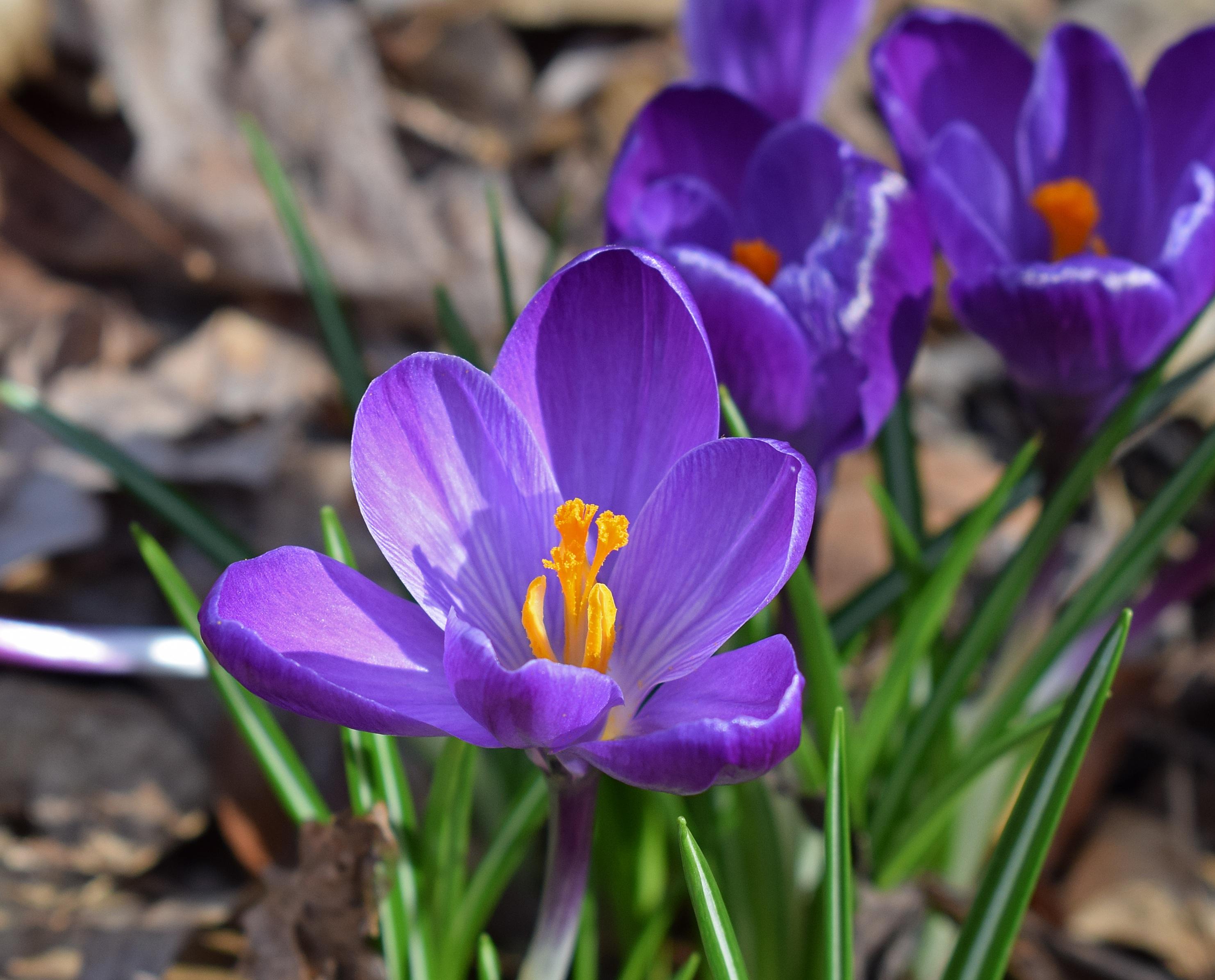Free Images Nature Blossom Flower Purple Petal Bloom Spring