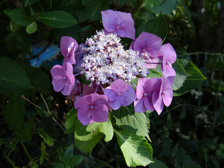 Images Gratuites La Nature Fleur Violet Petale Floraison Ete