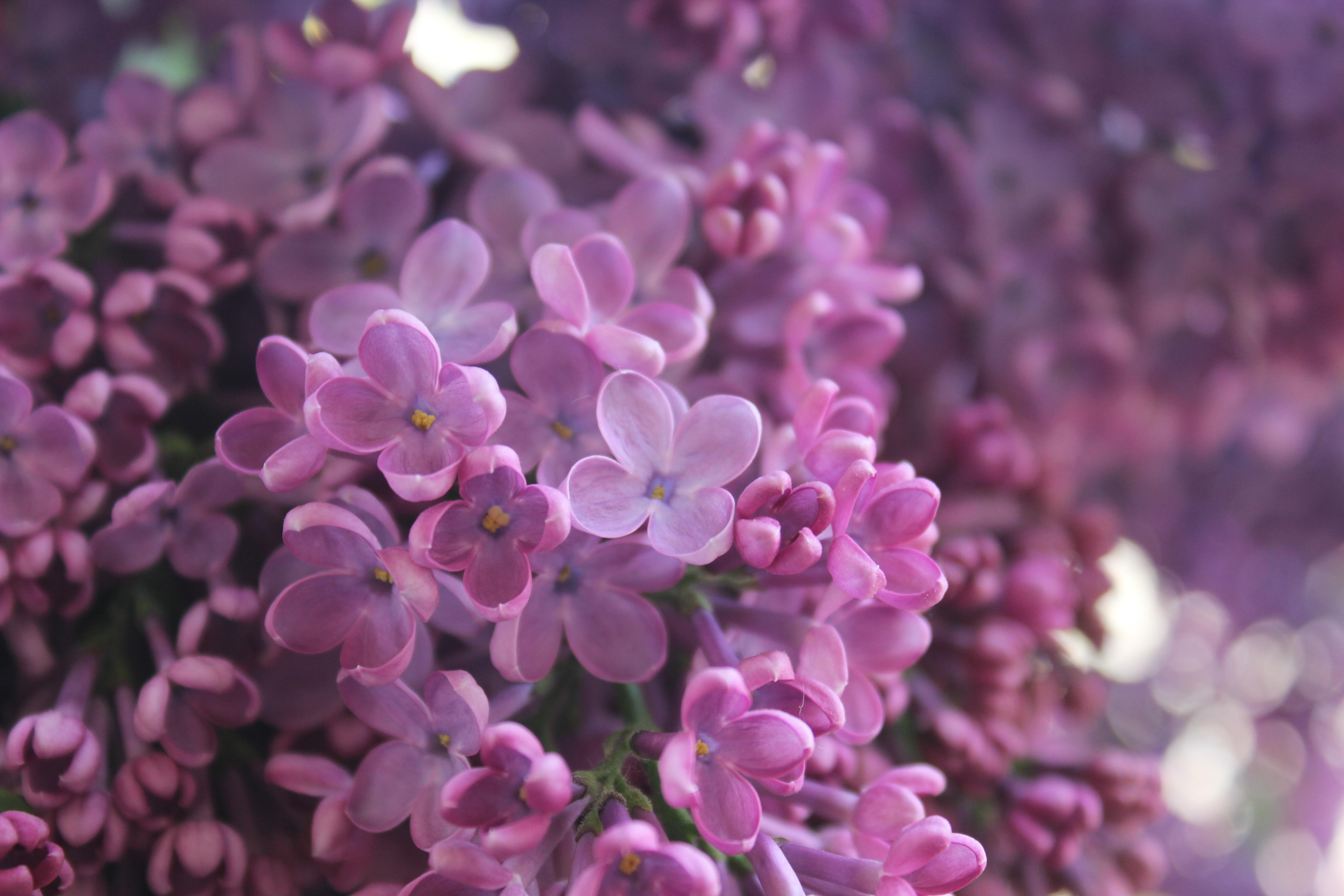 Free Images Nature Blossom Flower Petal Botany Pink Flora