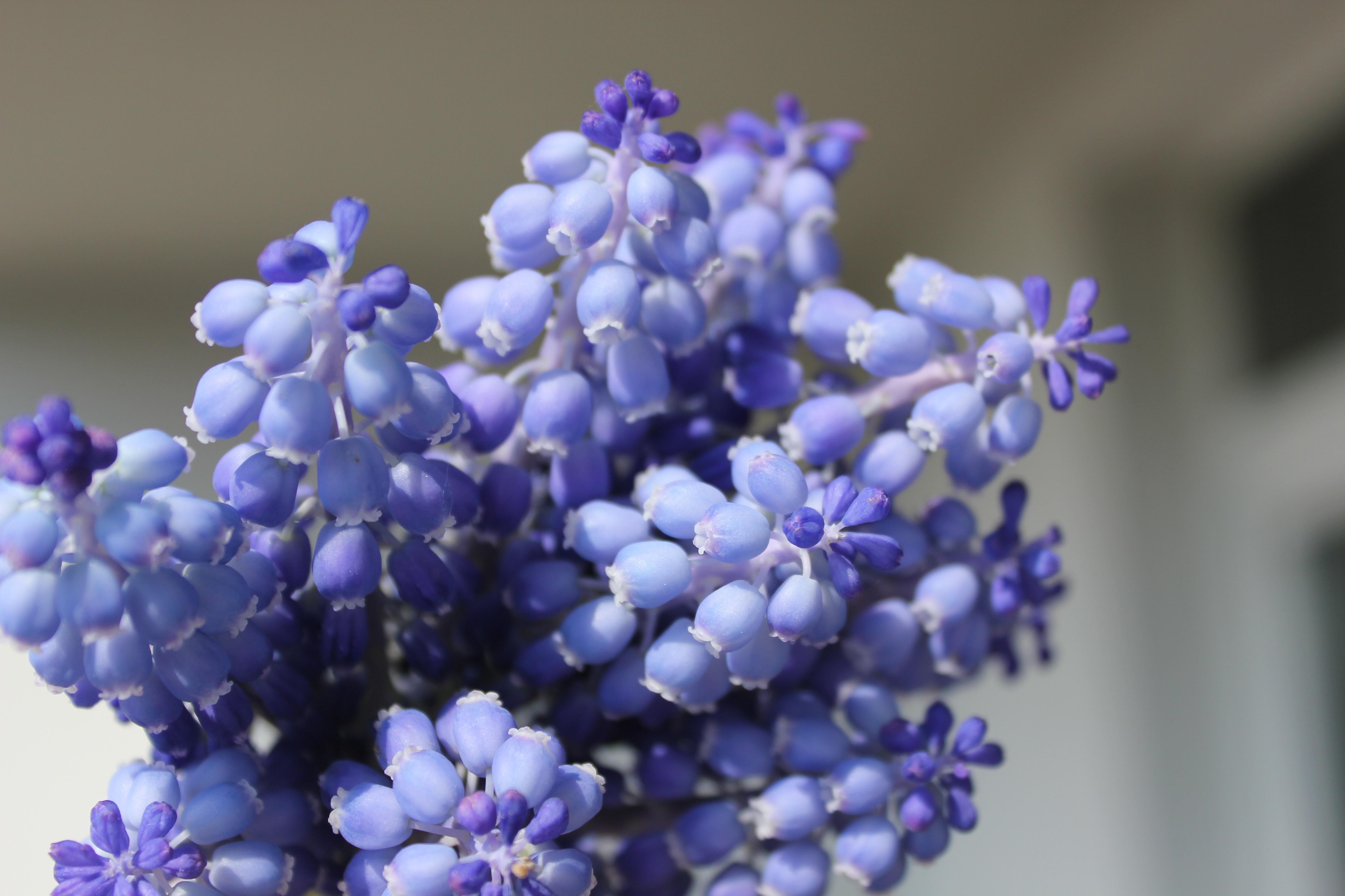 Цветок ночная зорька фото