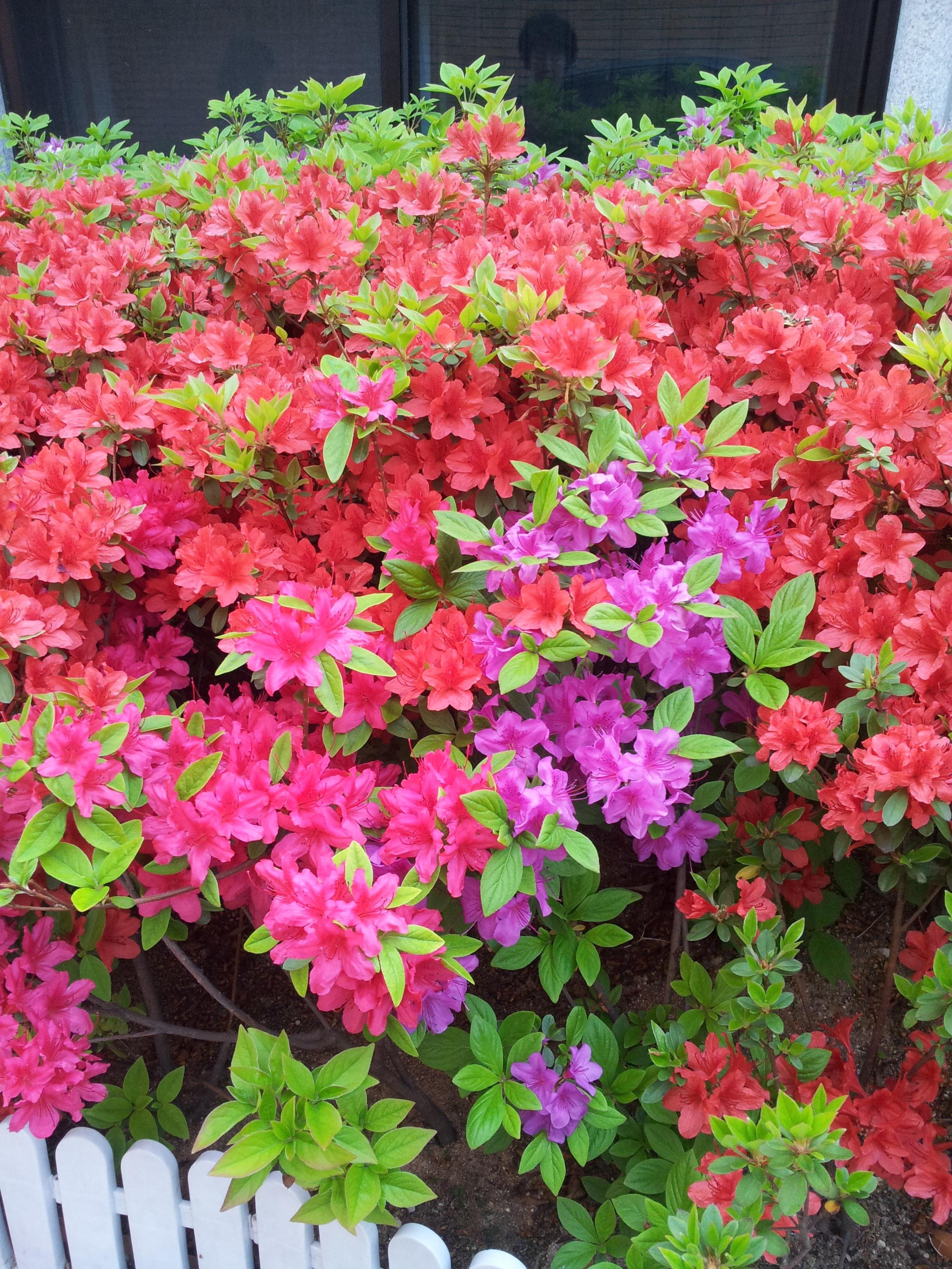 Fotos gratis naturaleza rosado plantas arbusto - Rododendro arbol ...