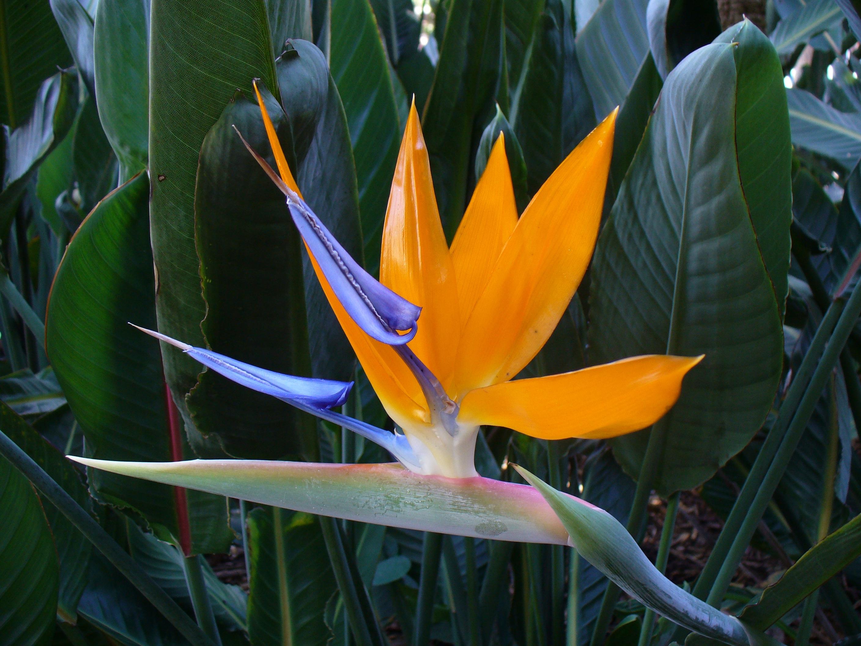 Images gratuites la nature feuille floraison floral orange vert jungle tropical - Plante oiseau de paradis ...