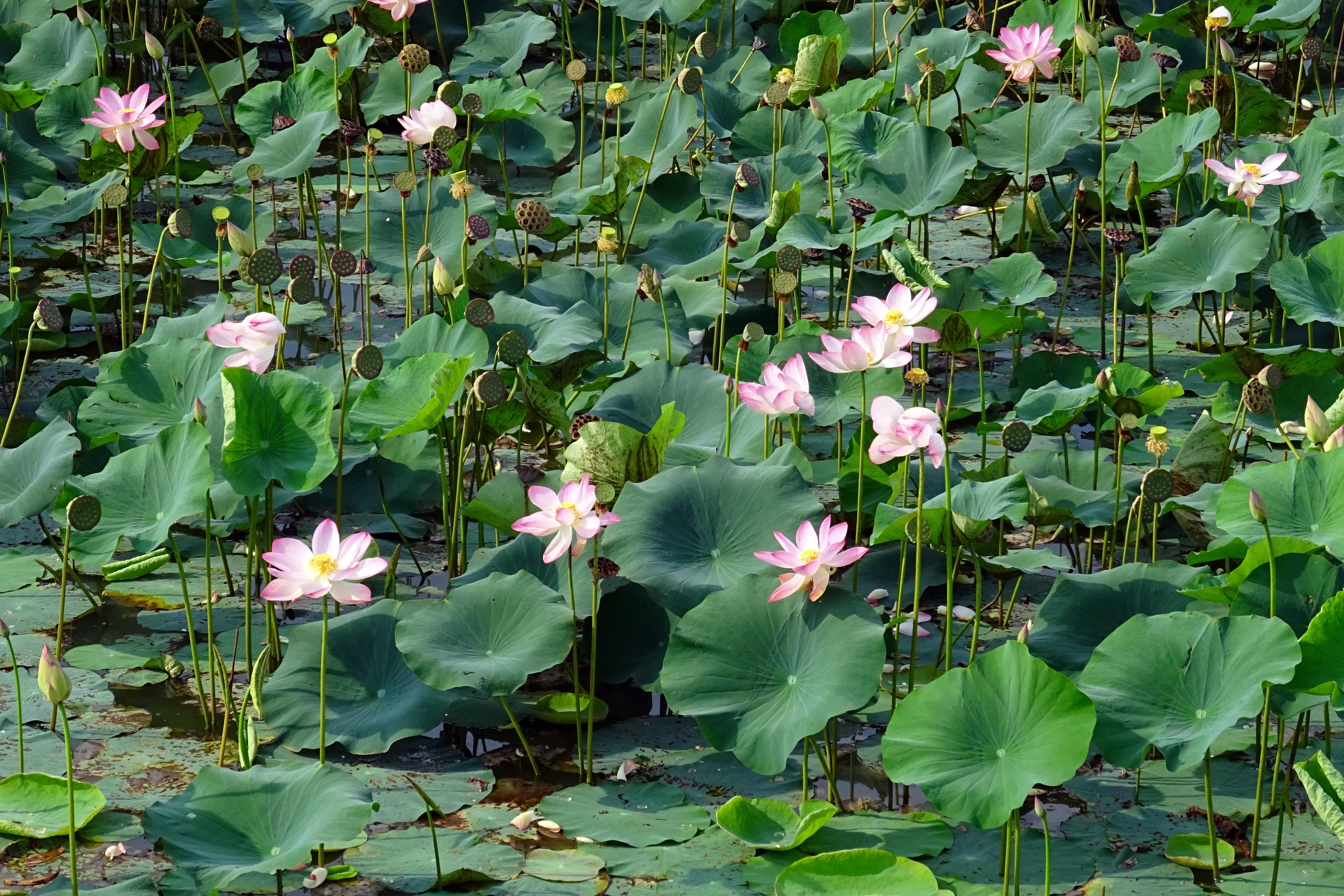 free images : nature, blossom, leaf, flower, bloom, pond, botany