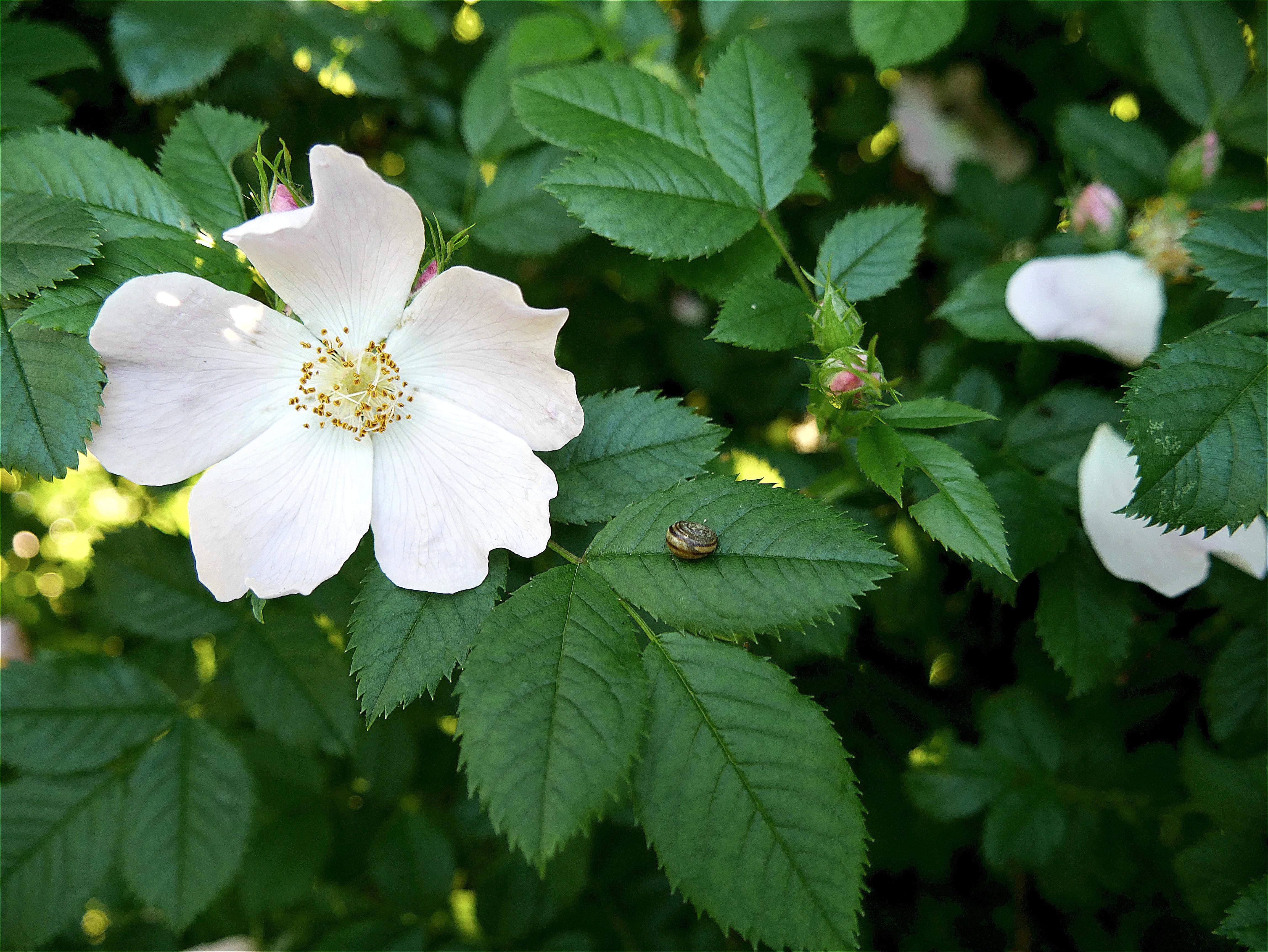 картинки красивого леса цветы колючий шиповника откроется