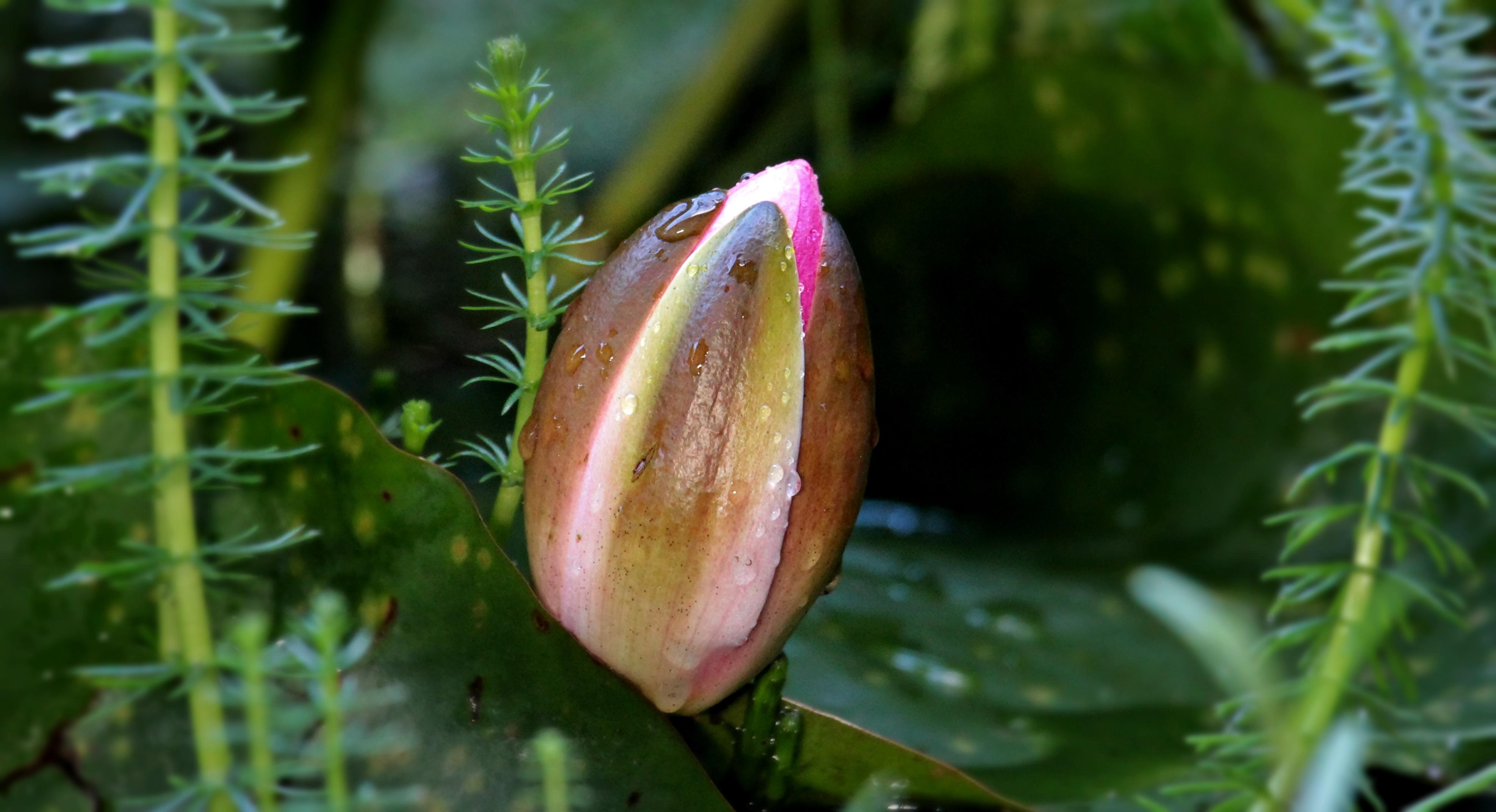 plante aquatique fleur rouge