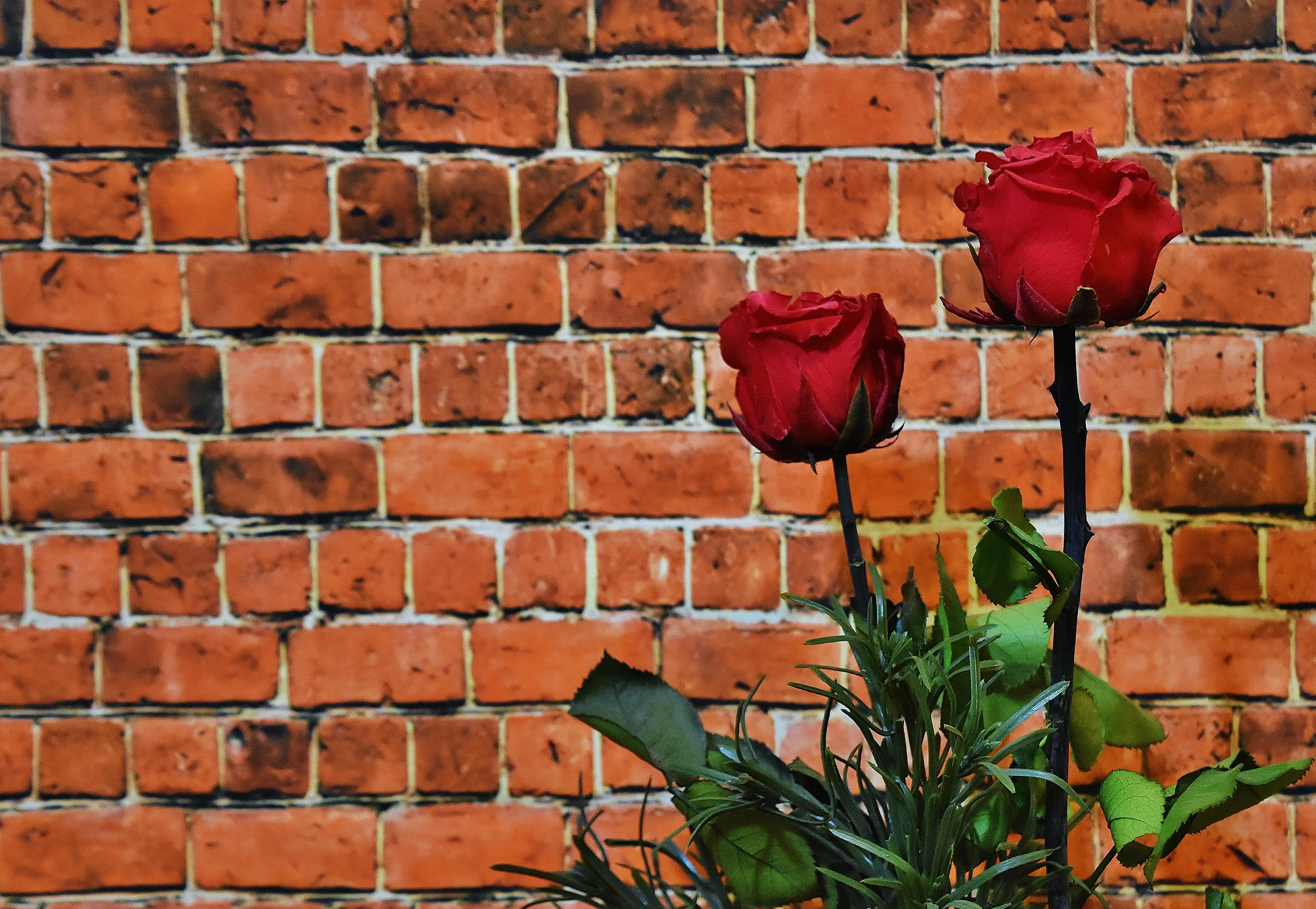 images gratuites la nature fleur plante feuille floraison rouge mur de pierre brique. Black Bedroom Furniture Sets. Home Design Ideas