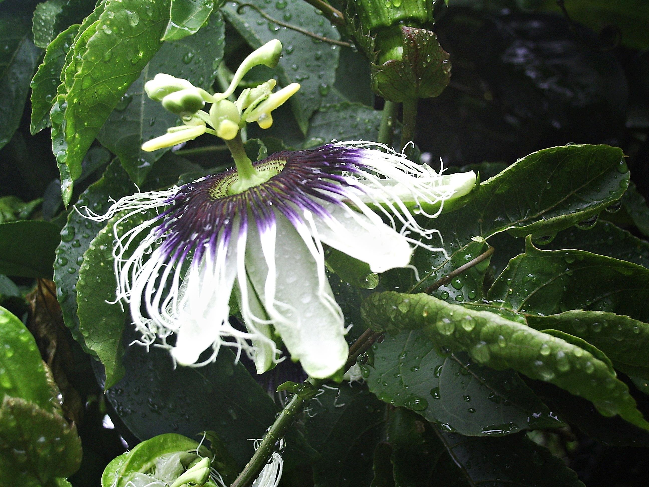 Pasiflora nedir