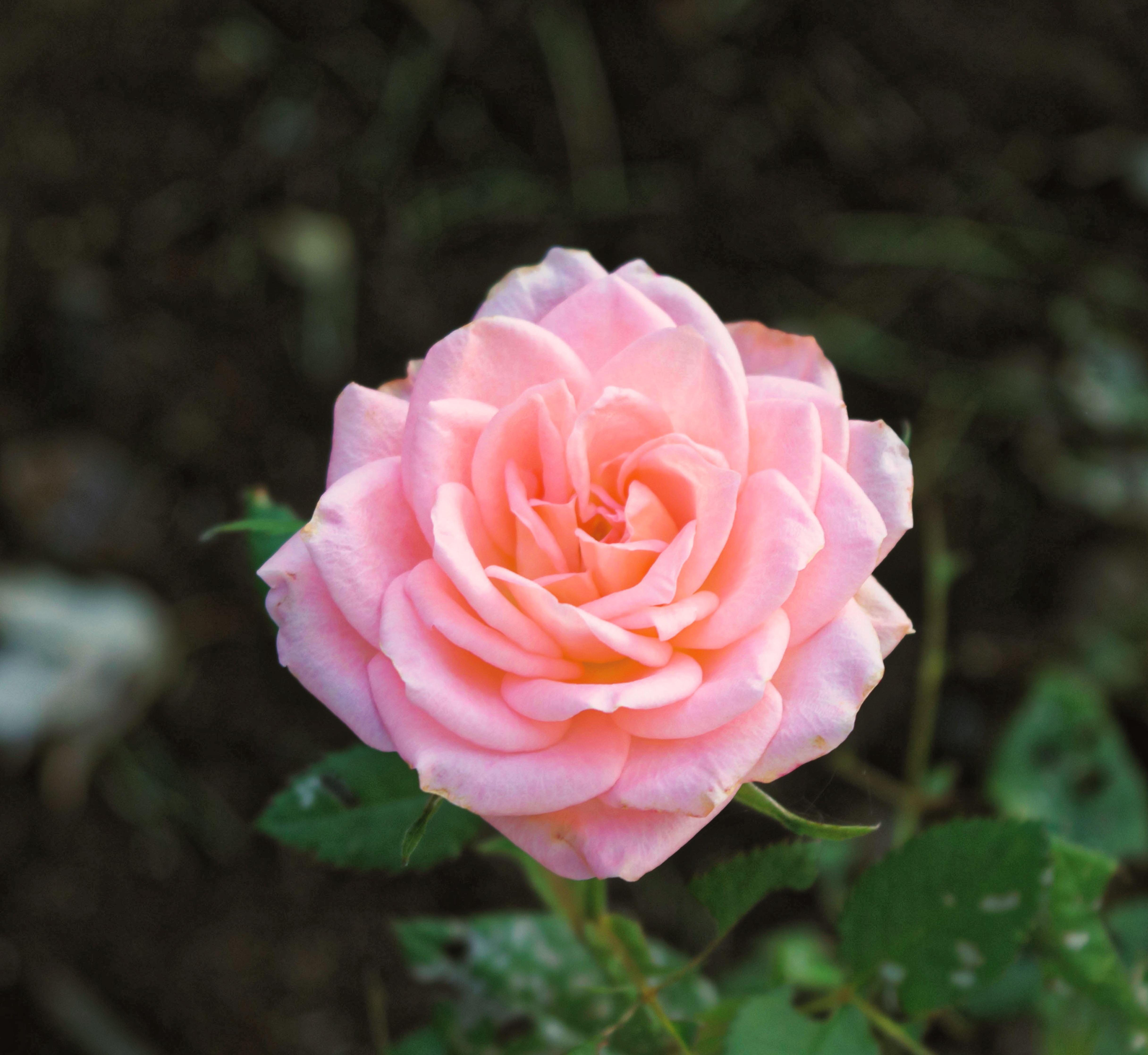 Garden Roses Flower Petal: Free Images : Nature, Blossom, Leaf, Petal, Bloom, Floral