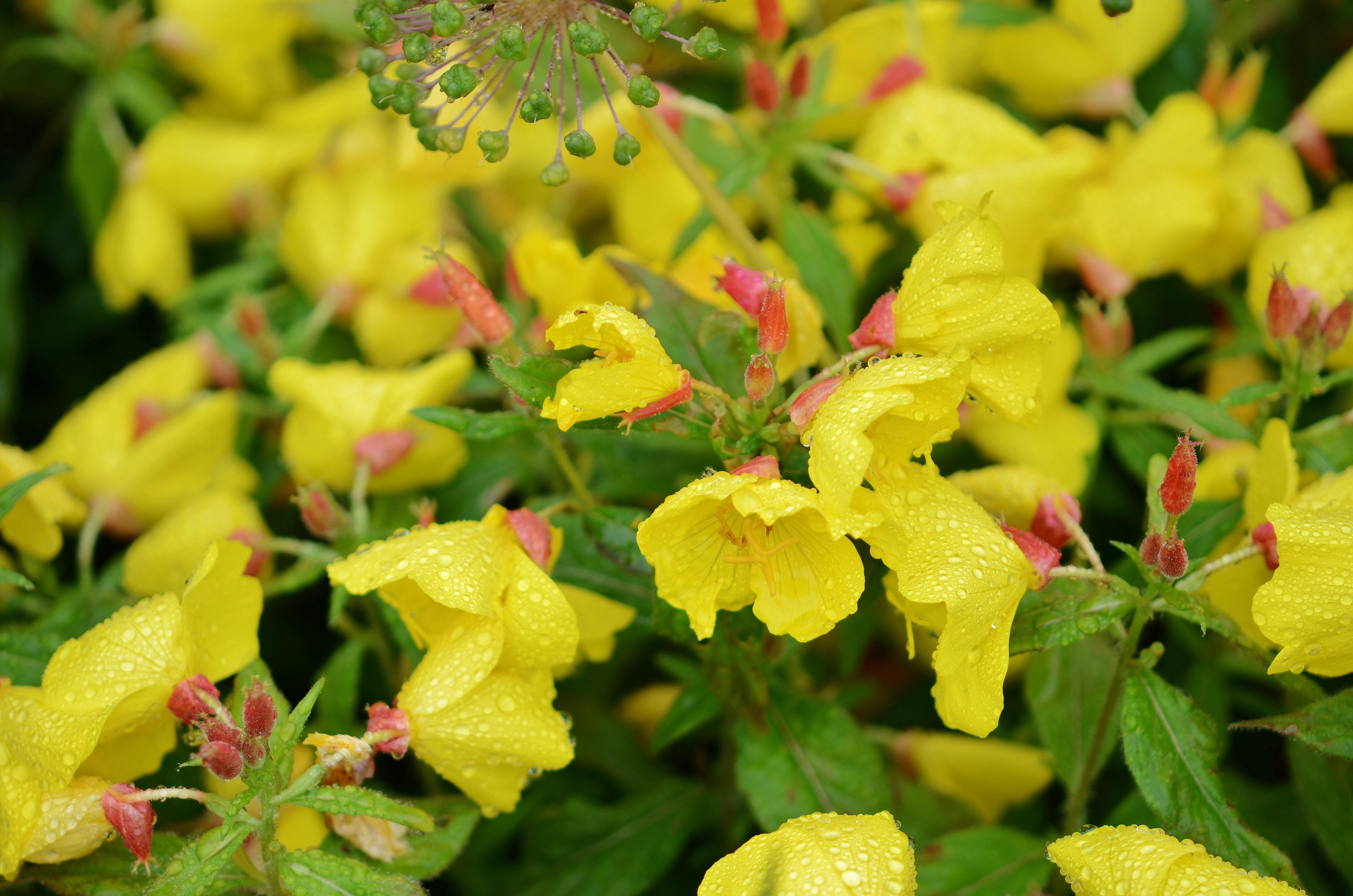 Images gratuites la nature fleur feuille p tale for Plante arbuste
