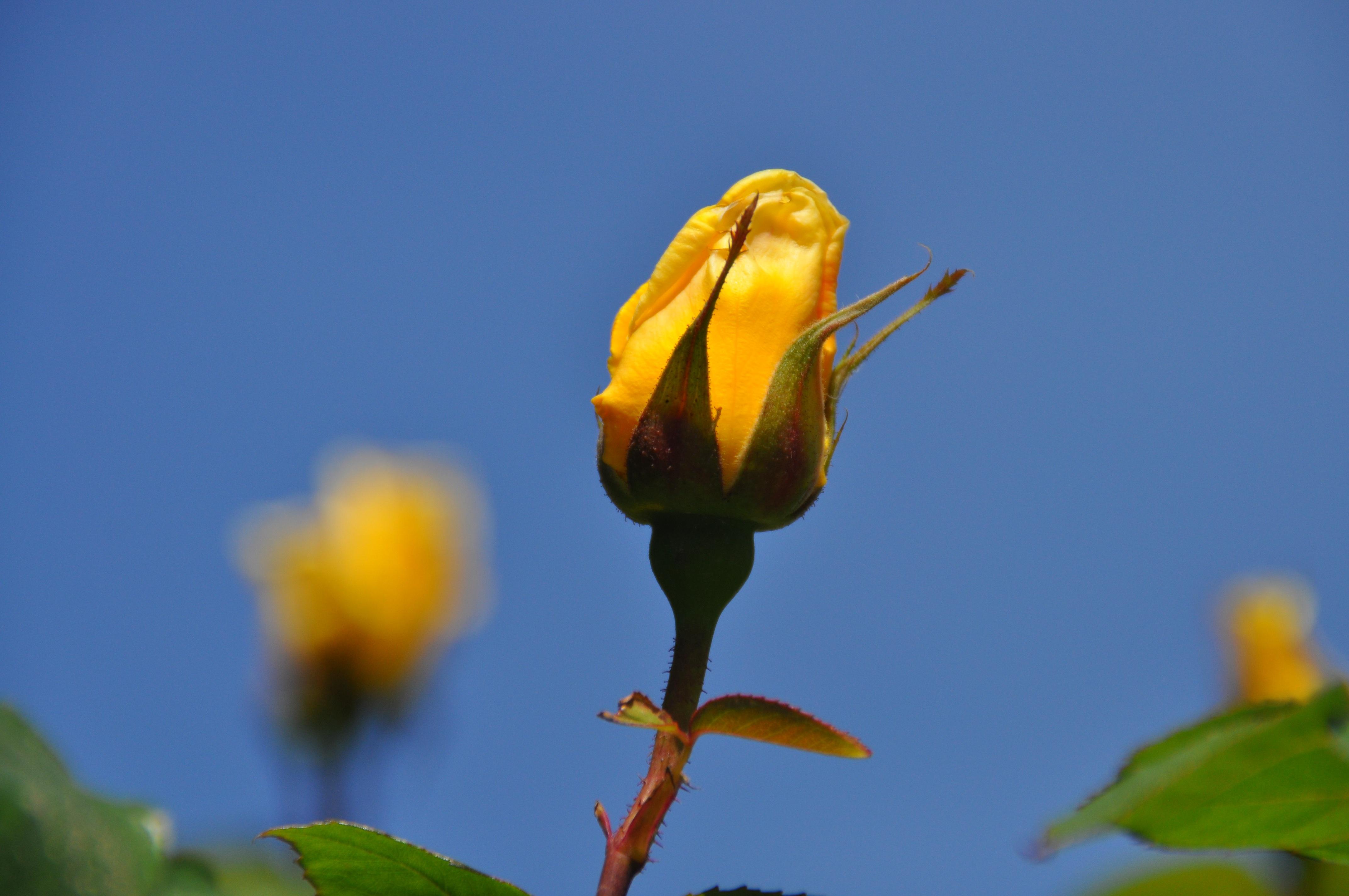Free Images Nature Blossom Leaf Petal Romantic Botany Flora