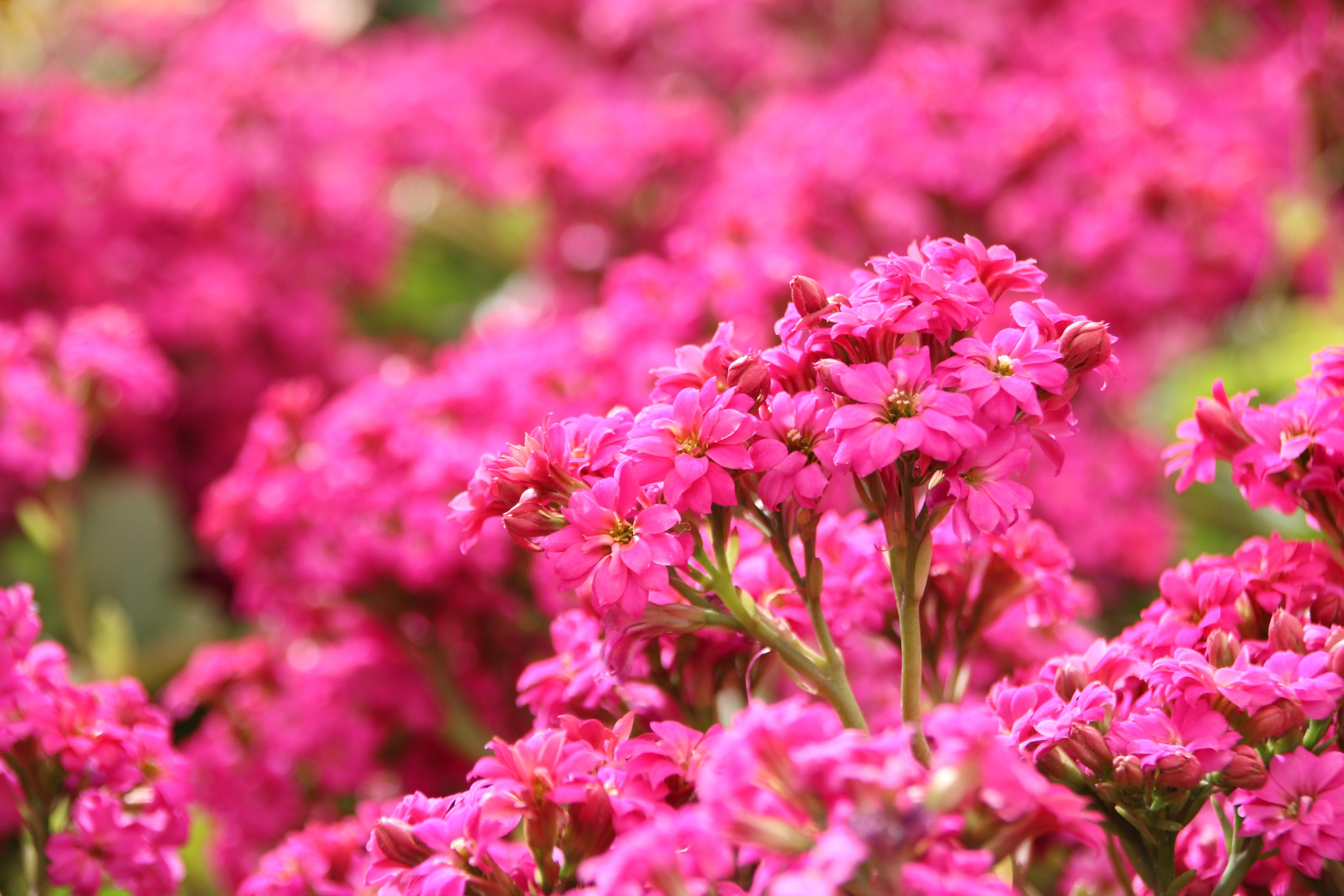 images gratuites la nature feuille p tale botanique jardin rose flore les plantes. Black Bedroom Furniture Sets. Home Design Ideas