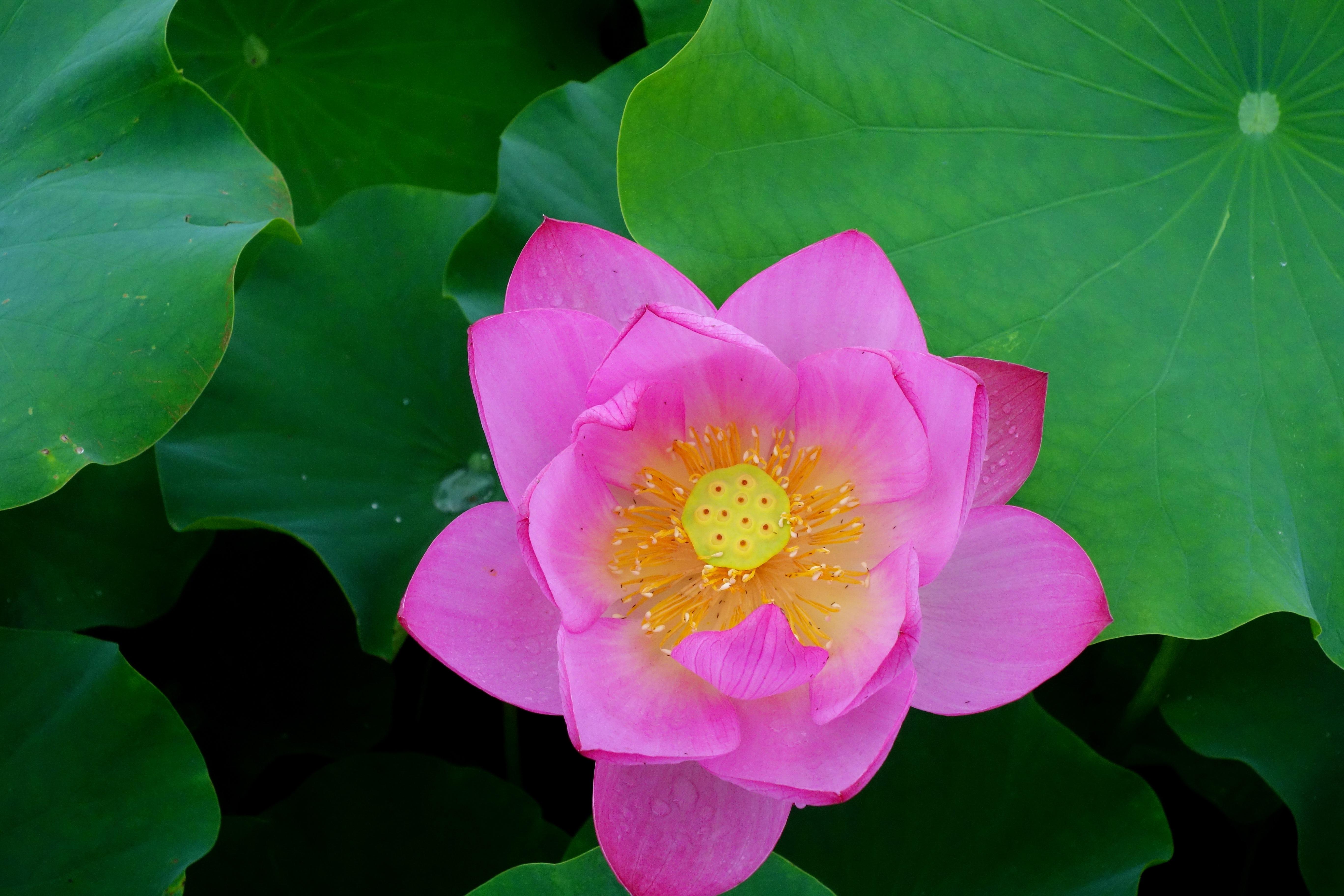 цветущие лотосы фото чистого сердца
