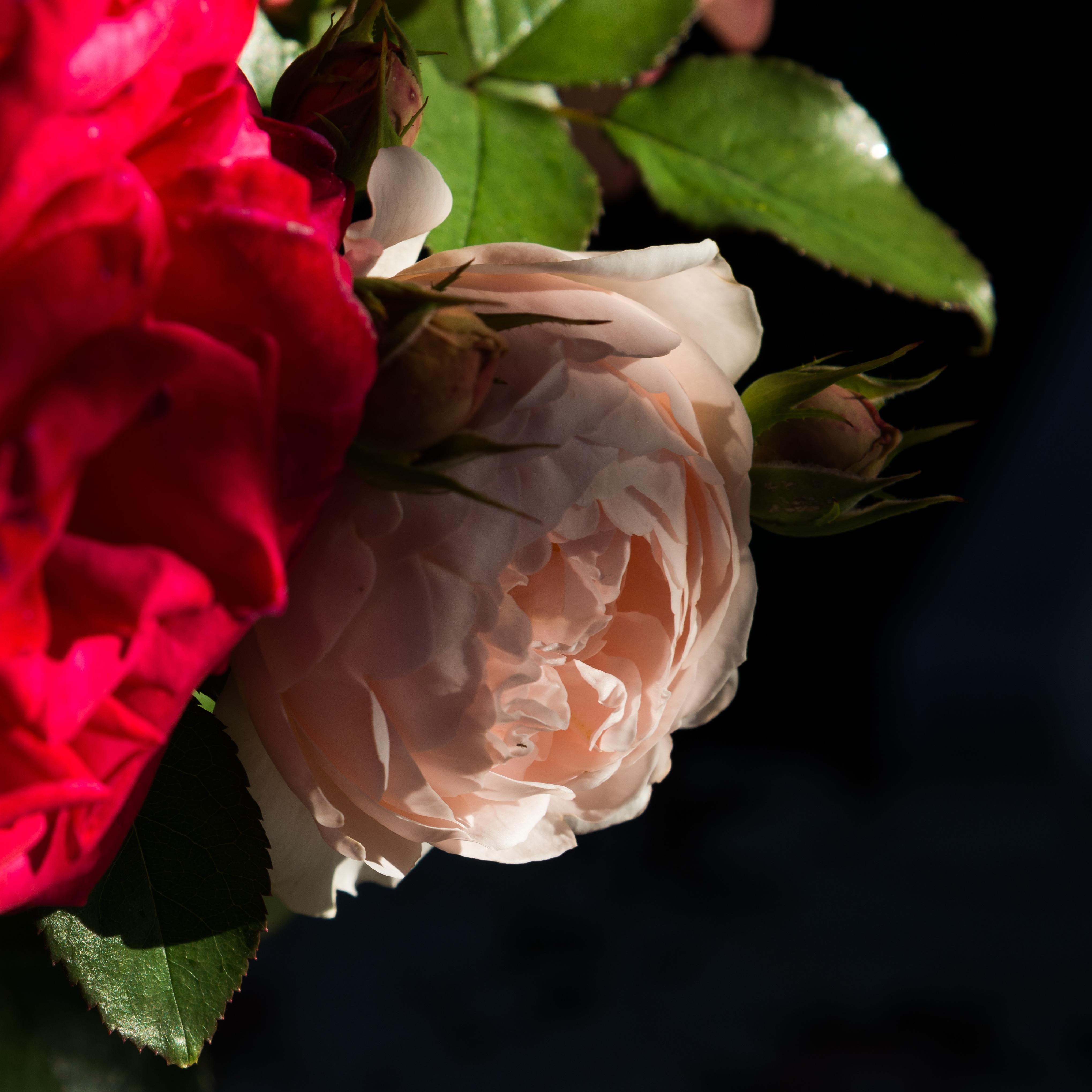 Free Images Nature Blossom Leaf Flower Petal Gift Pink
