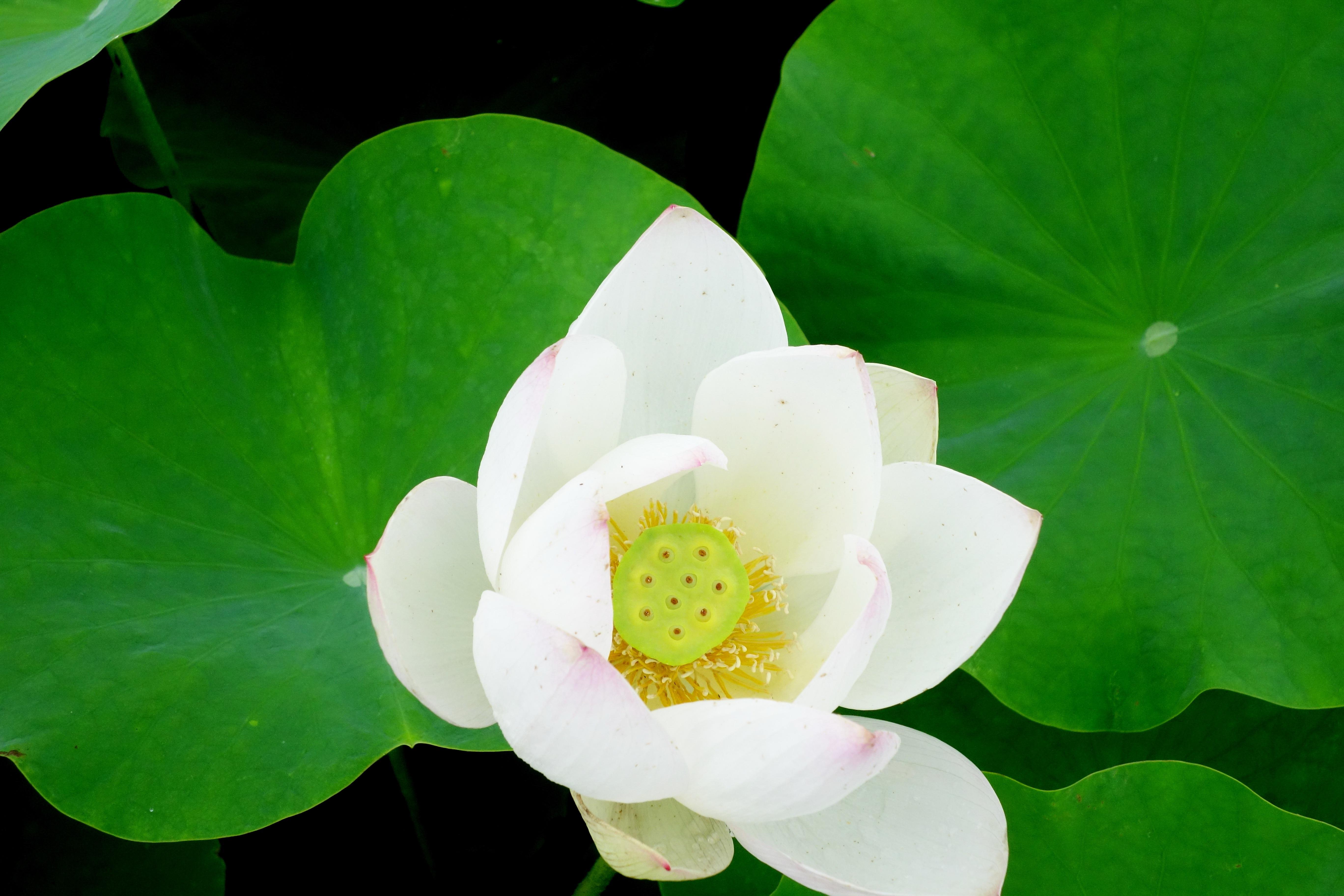 Fotos gratis : naturaleza, flor, hoja, pétalo, verde, botánica ...