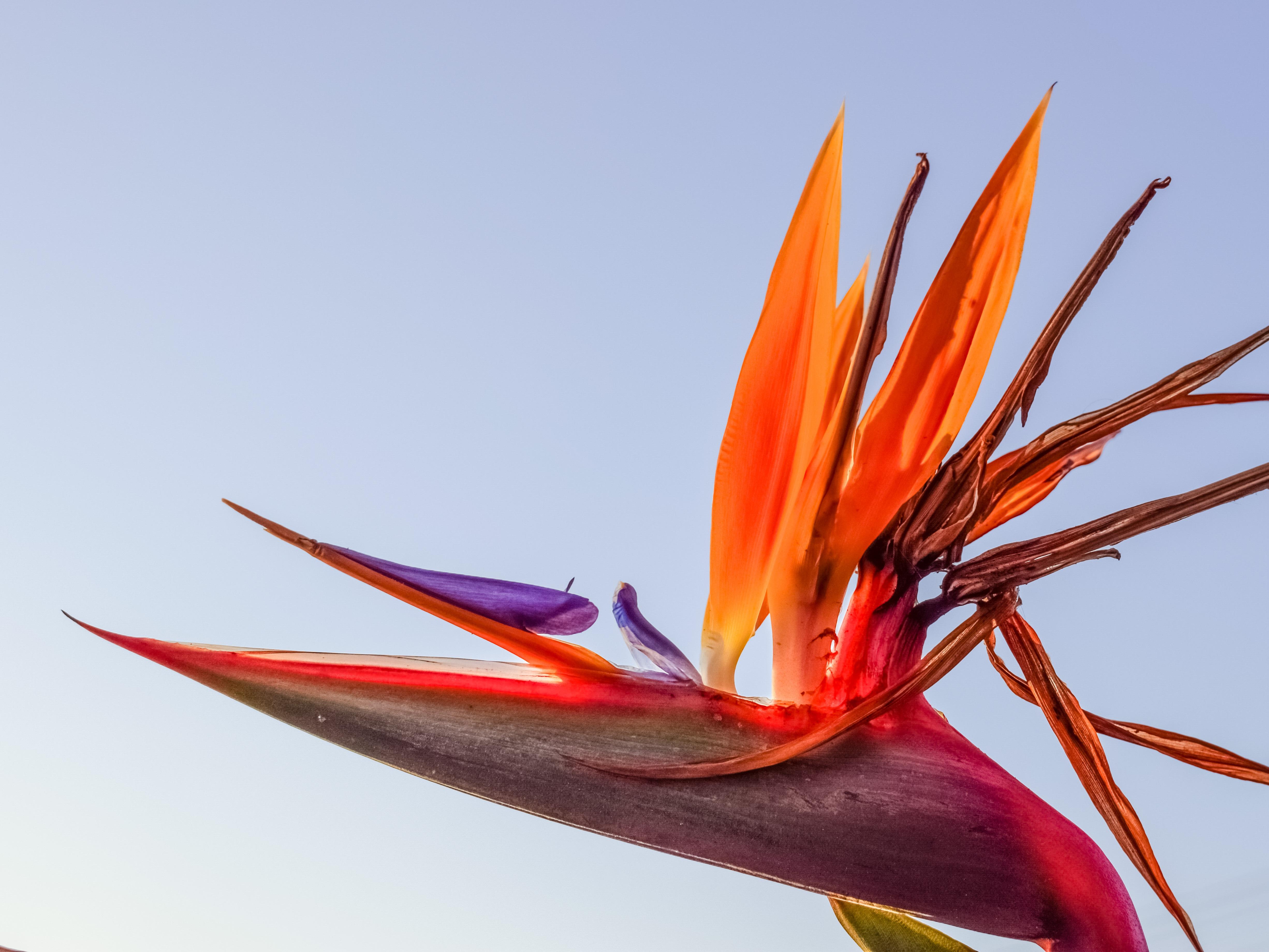 Free Images : nature, blossom, leaf, flower, petal, orange, spring ...
