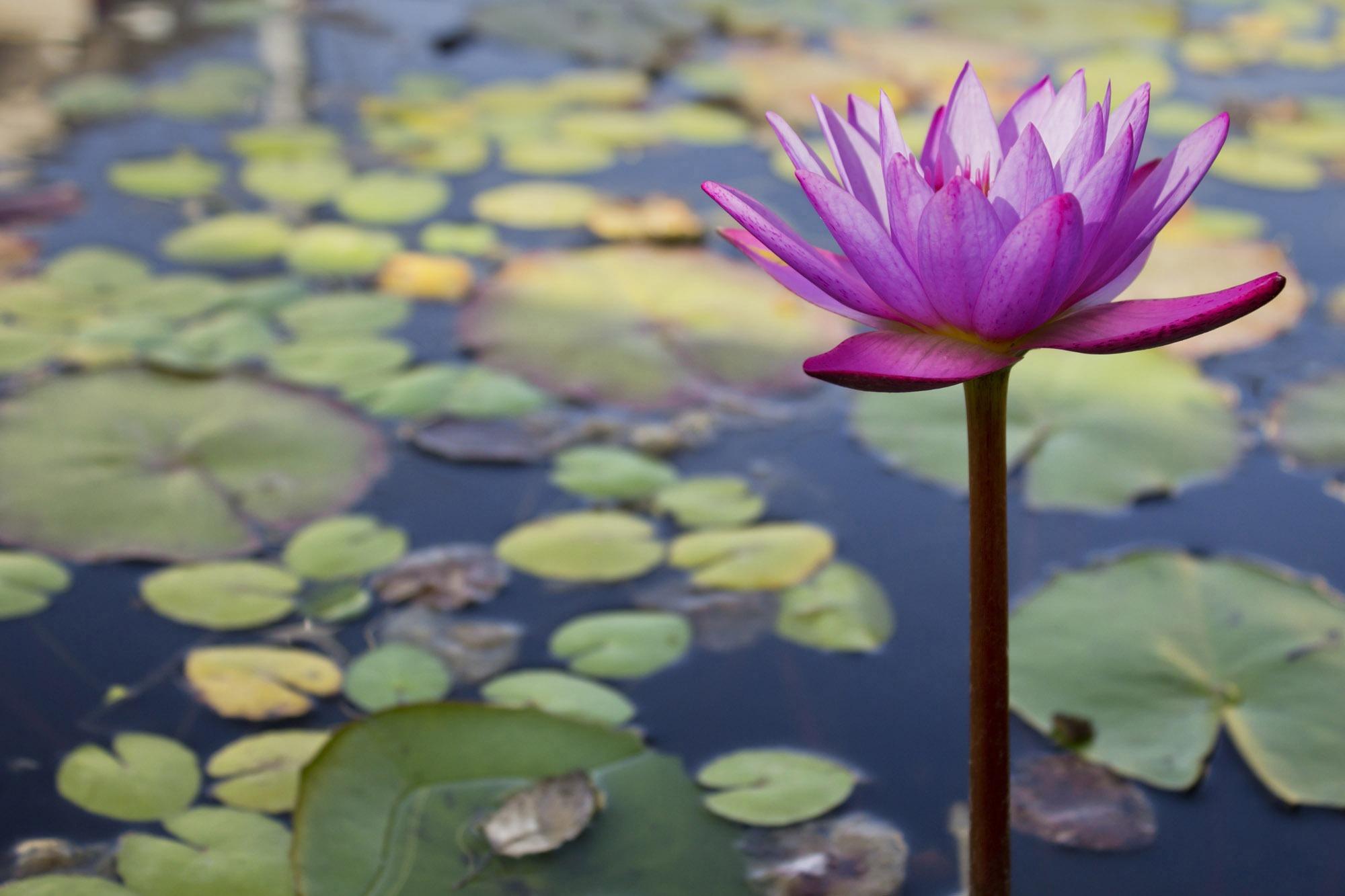 Free Images : nature, blossom, leaf, petal, pond, green, botany ...