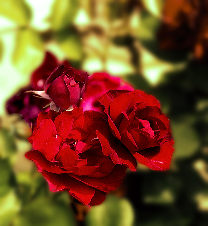 Garden Roses Flower Petal: Free Images : Nature, Blossom, Leaf, Flower, Petal, Summer