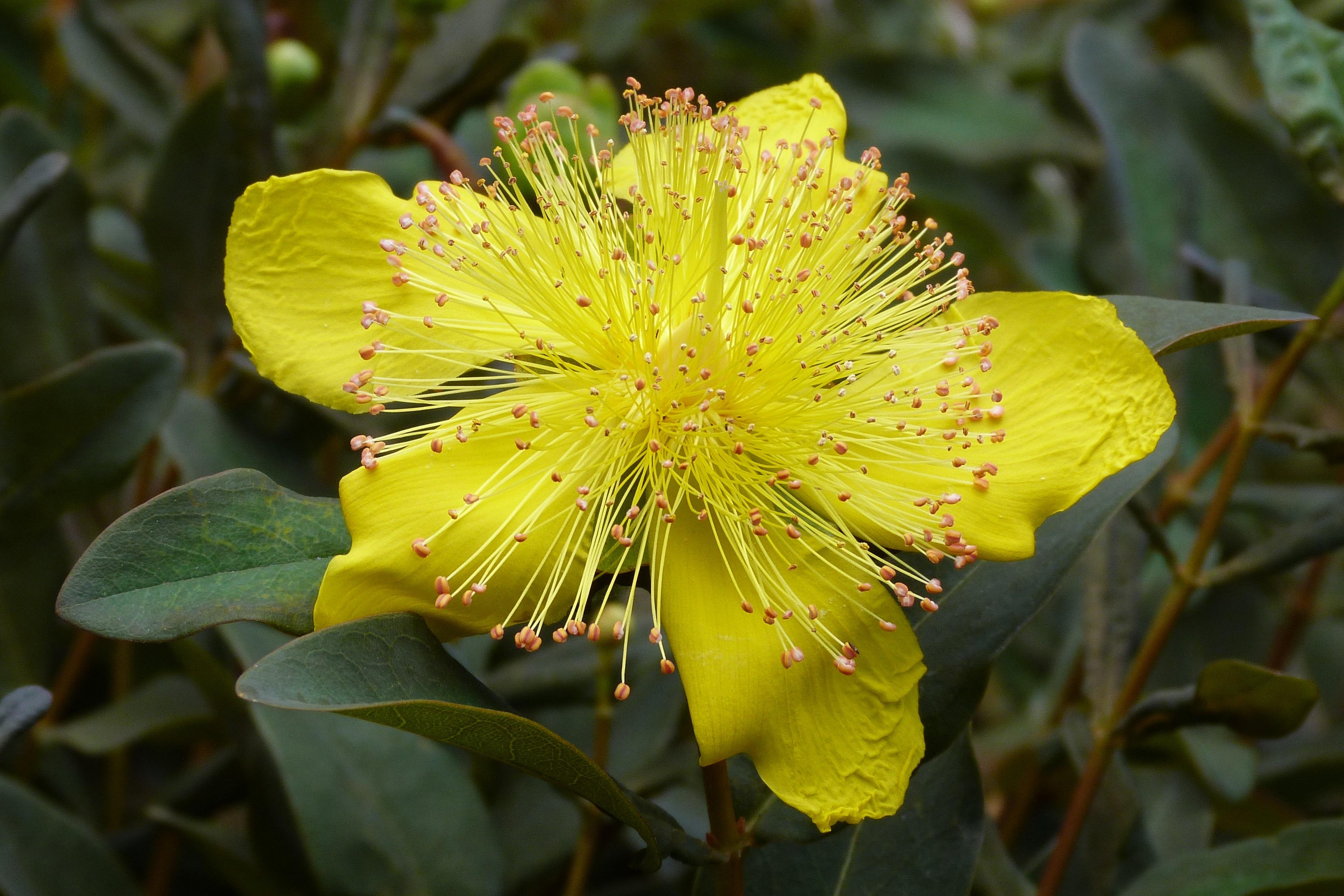 images gratuites : la nature, fleur, feuille, printemps, macro