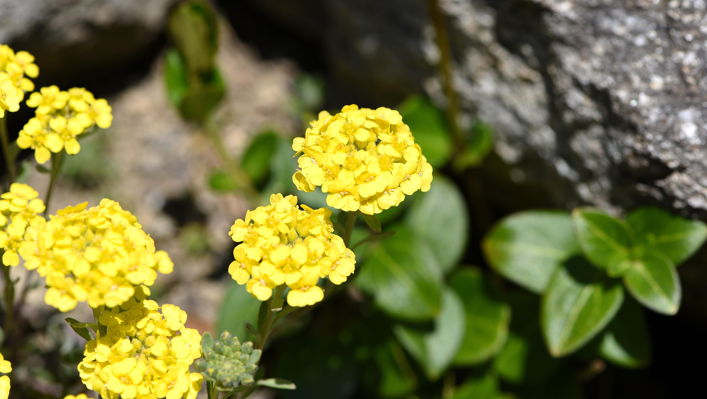 Images gratuites la nature feuille produire botanique - Arbuste fleurs jaunes printemps ...