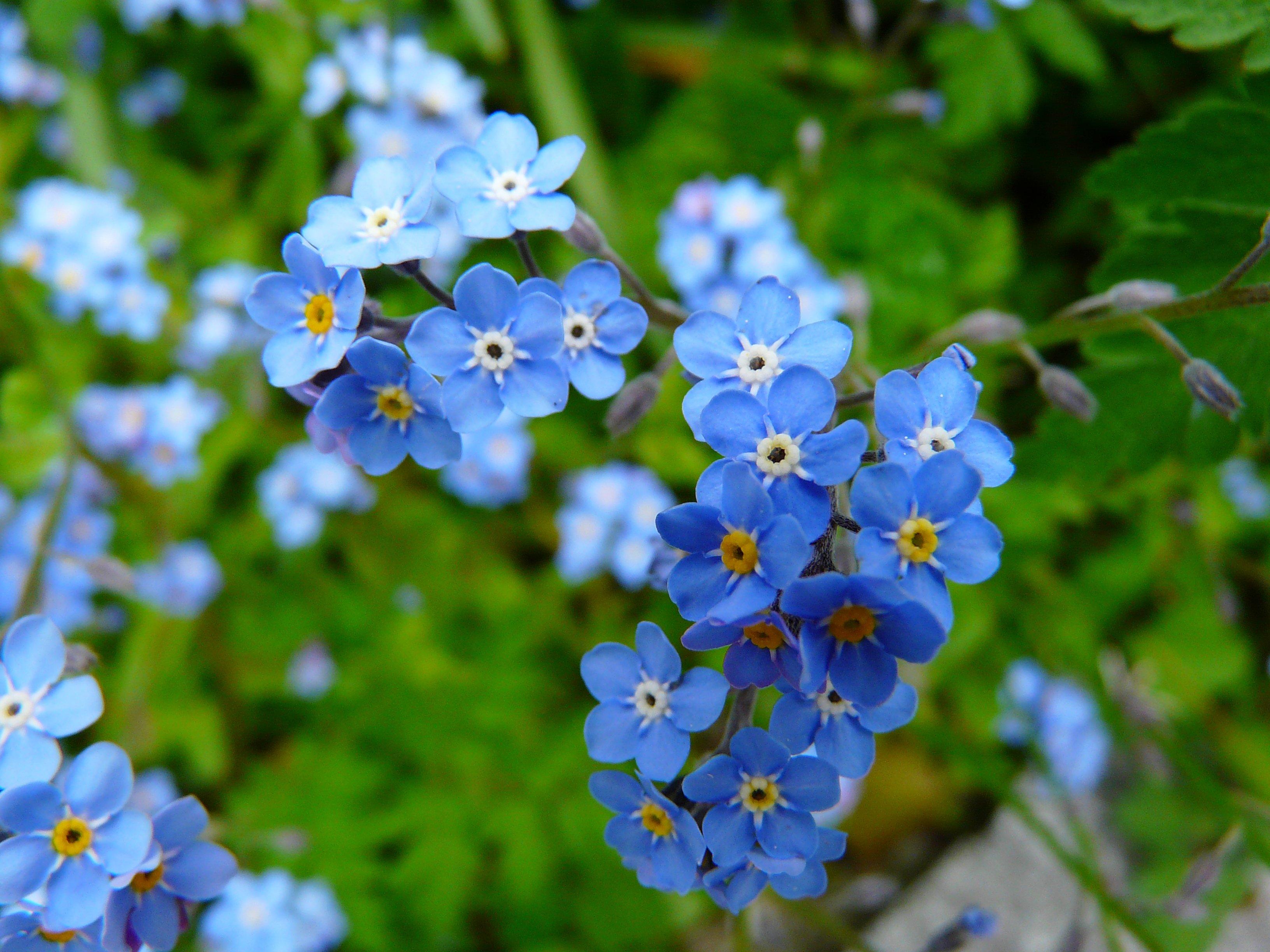 мелкие голубые цветы названия и фото конце представлена