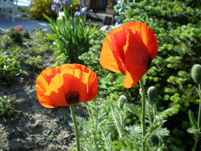 картинки цветка мак садовый спустя пять