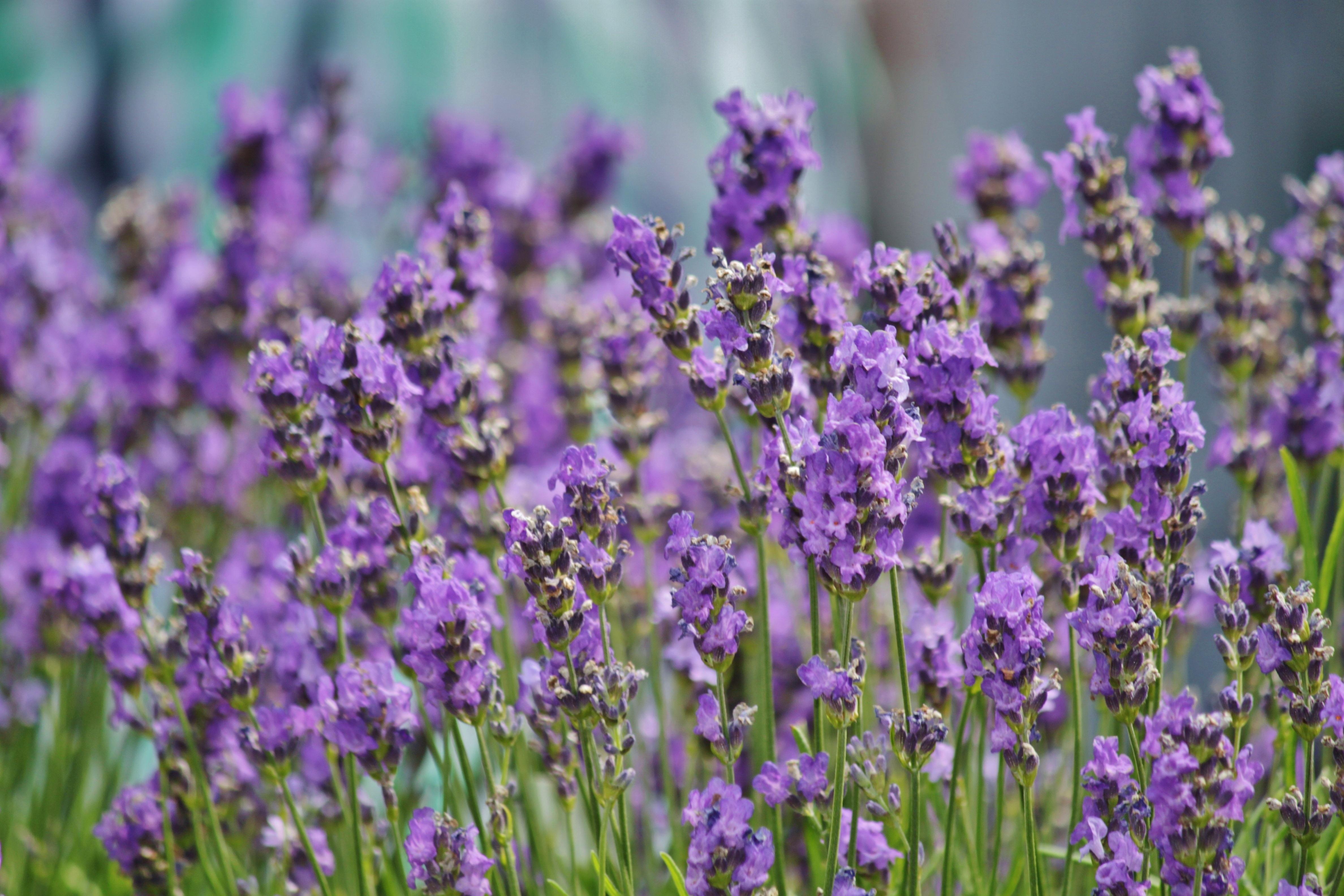 images gratuites la nature fleur prairie floraison t france herbe surgir macro. Black Bedroom Furniture Sets. Home Design Ideas