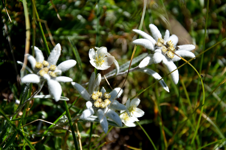фотографии цветка эдельвейс типы