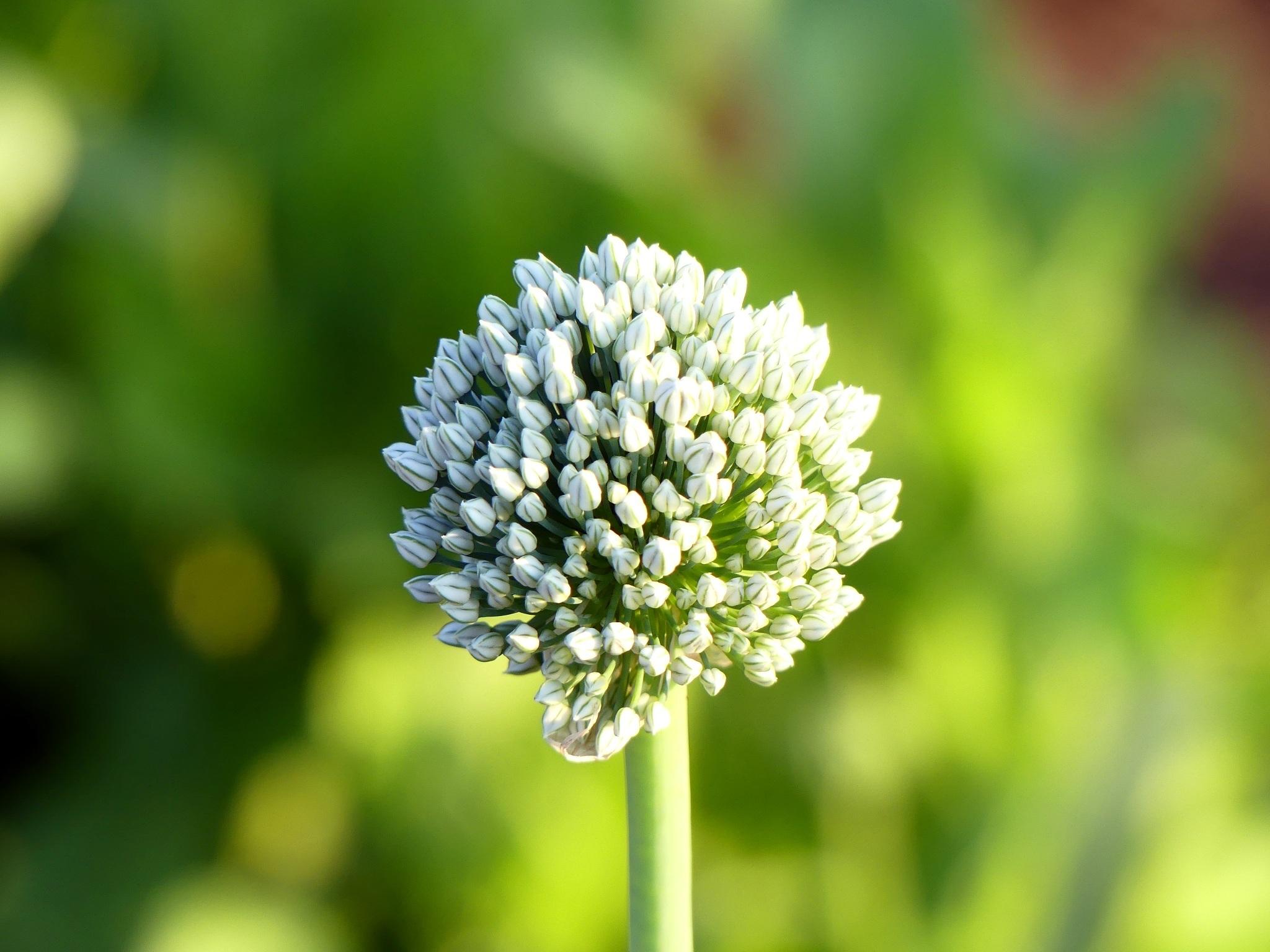 фото цветение чеснока эпилятора делает его