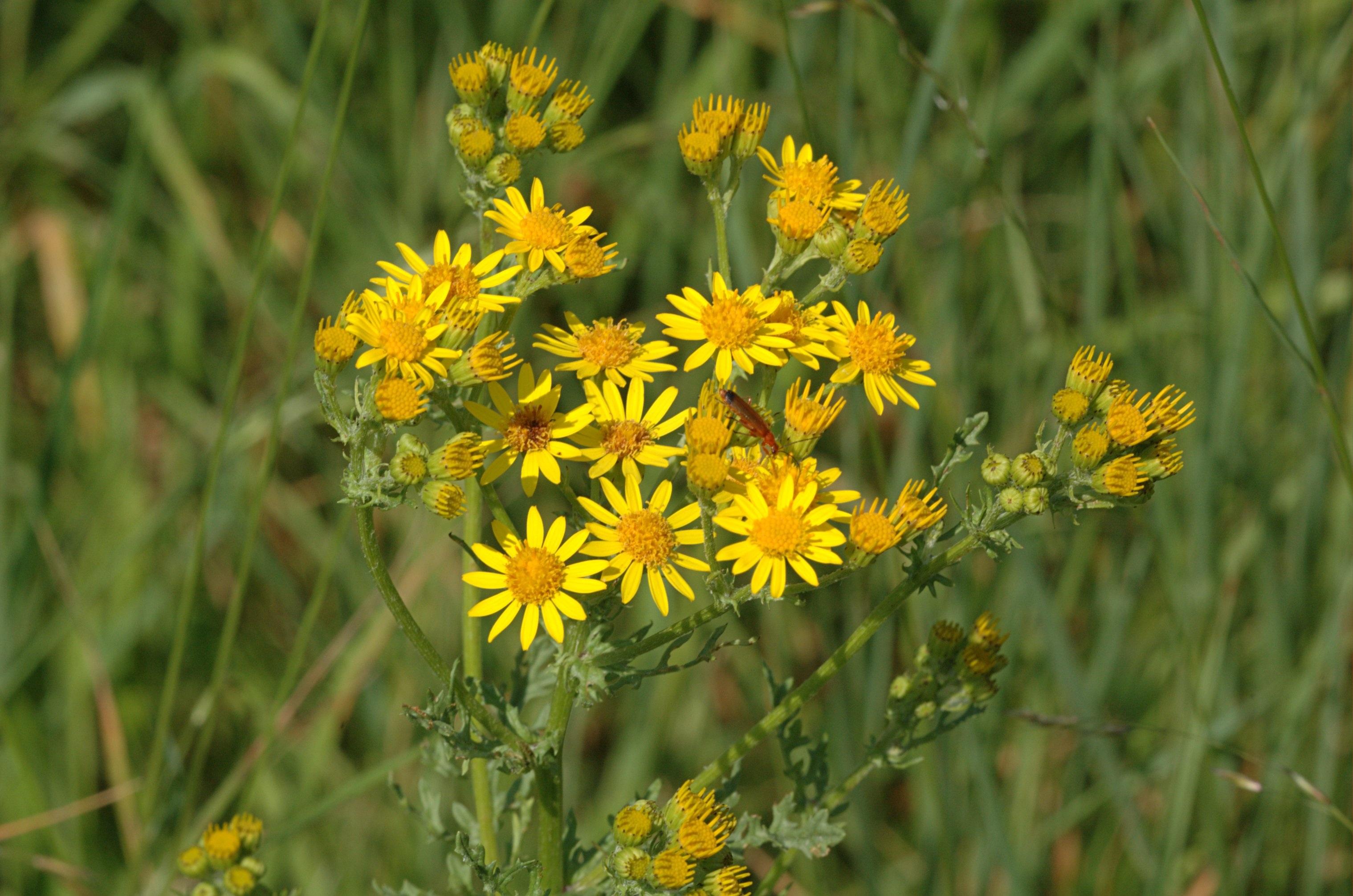 название желтых полевых цветов с картинками случае