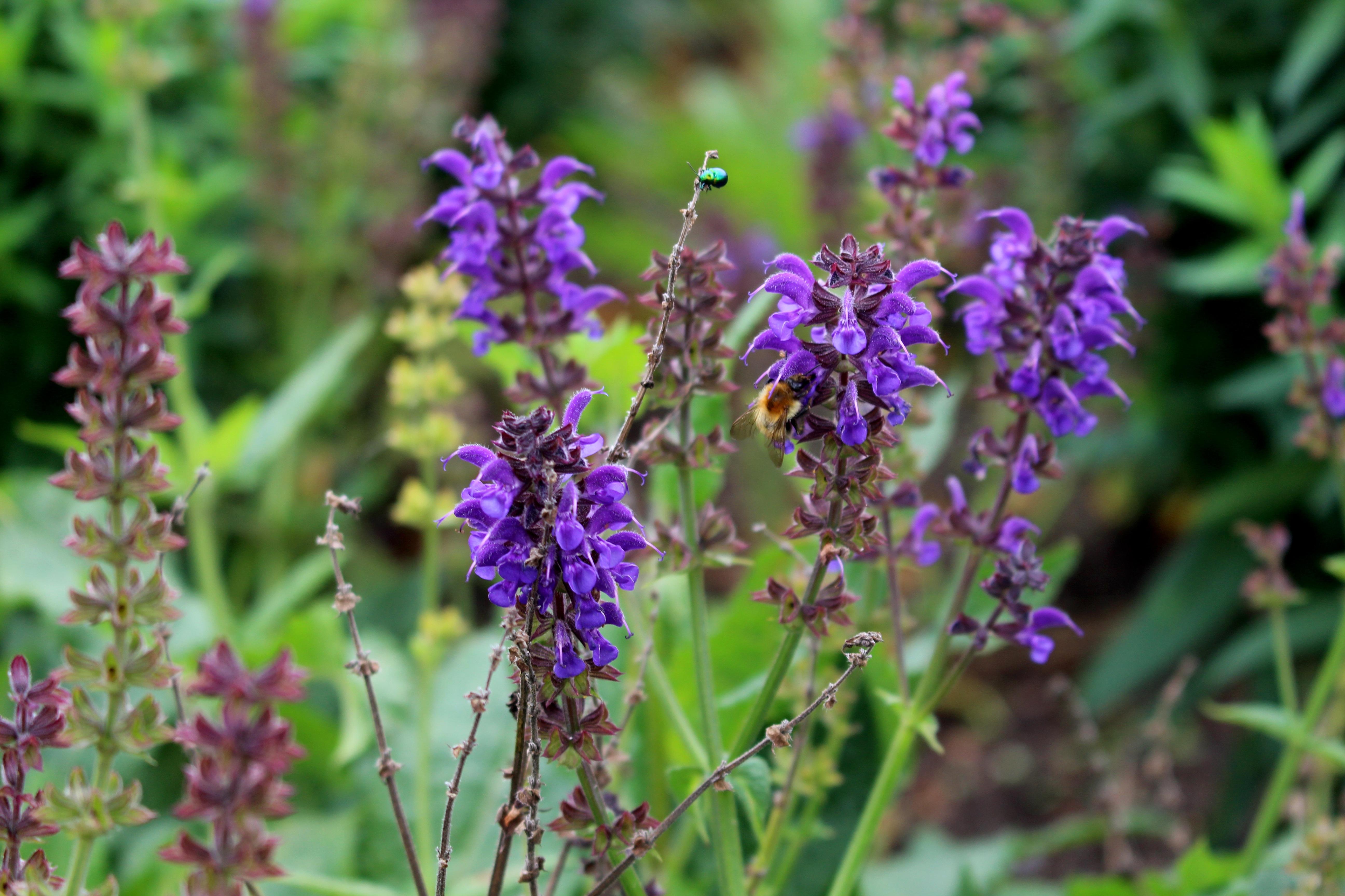 kostenlose foto bl hen wiese pr rie blatt blume lila tier sommer gr n kraut insekt. Black Bedroom Furniture Sets. Home Design Ideas